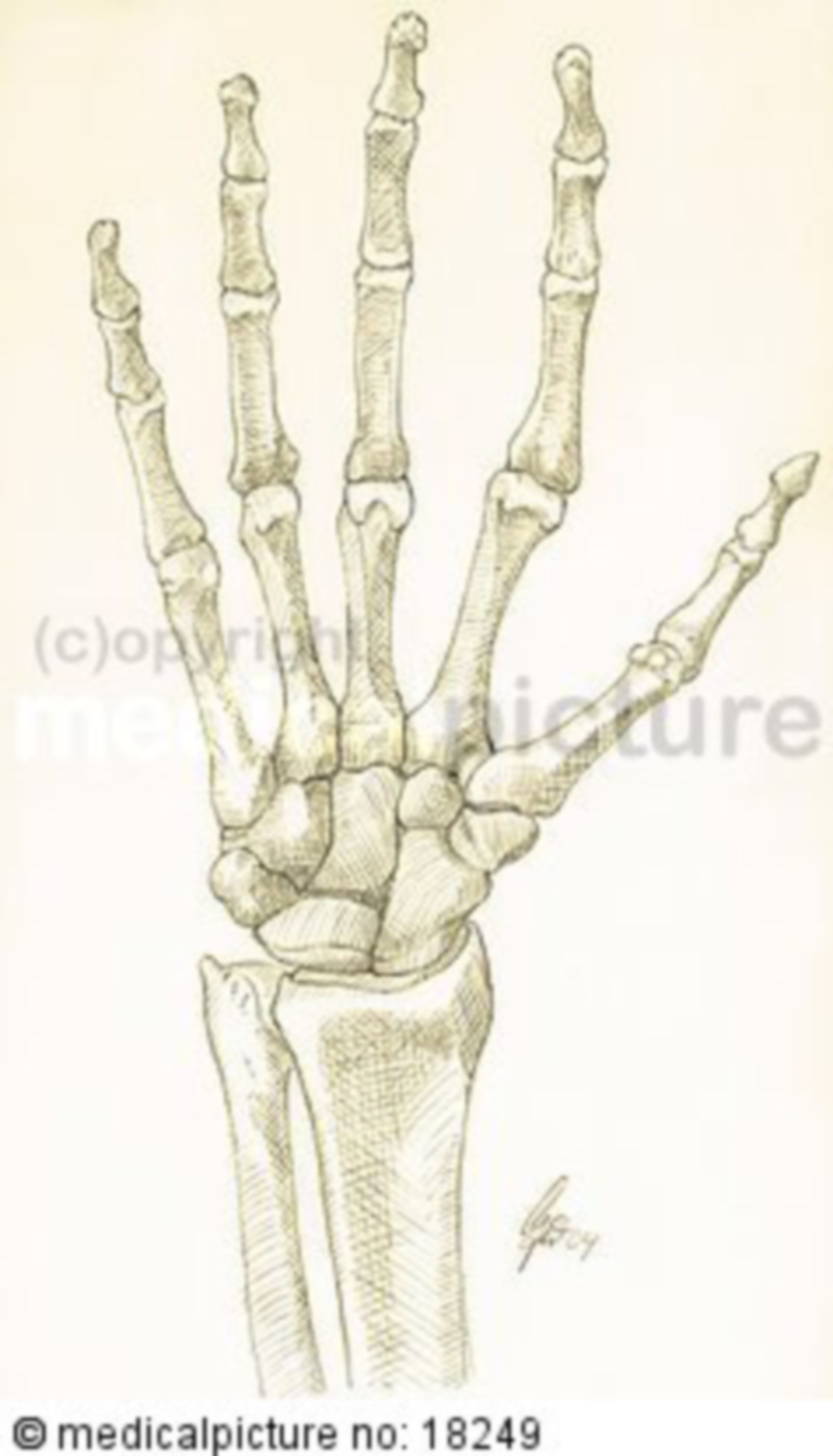 Hand with joints