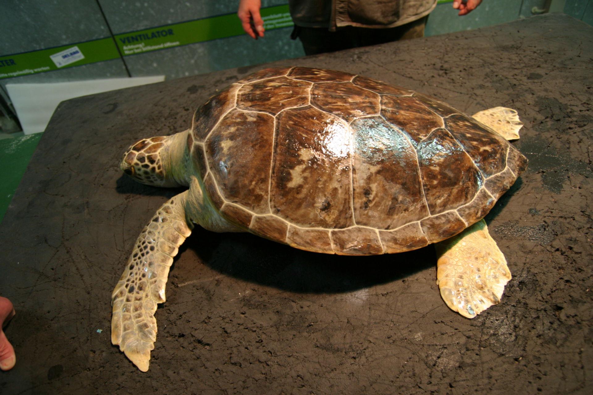 Veterinary Medicine: Chelonia Mydas Turtle, Gdynia Poland