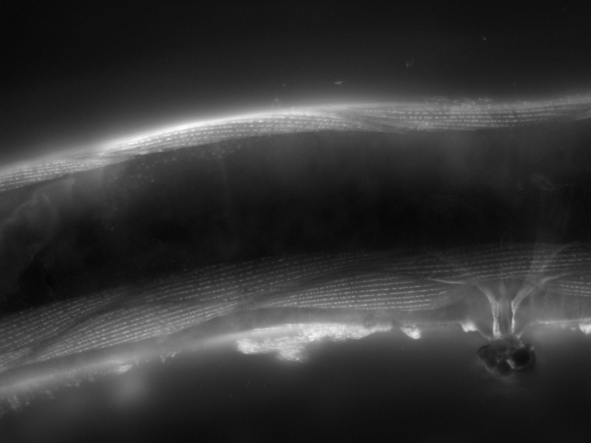 Caenorhabditis elegans (Actin filament) - CIL:1197