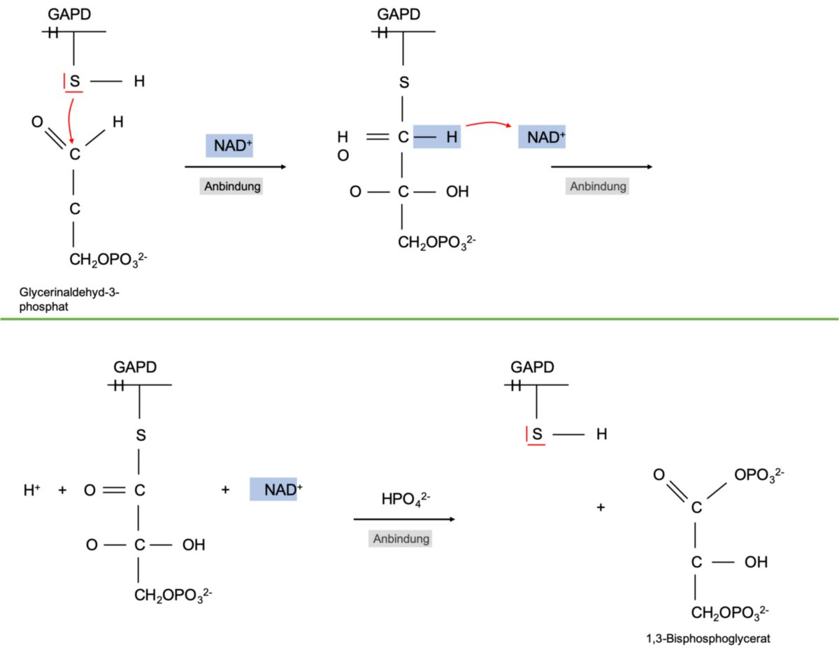 GAPDH-Reaktion