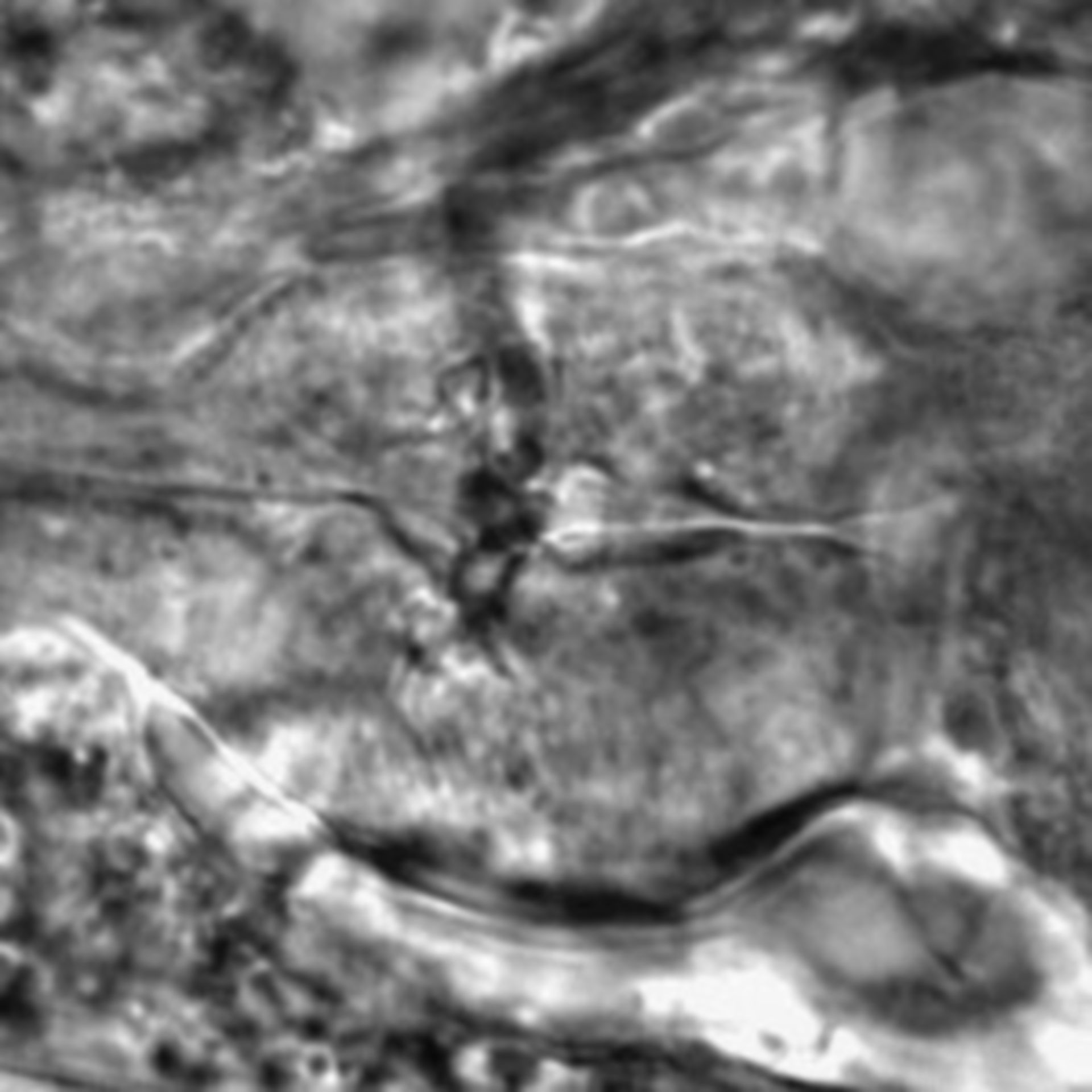 Caenorhabditis elegans - CIL:1926