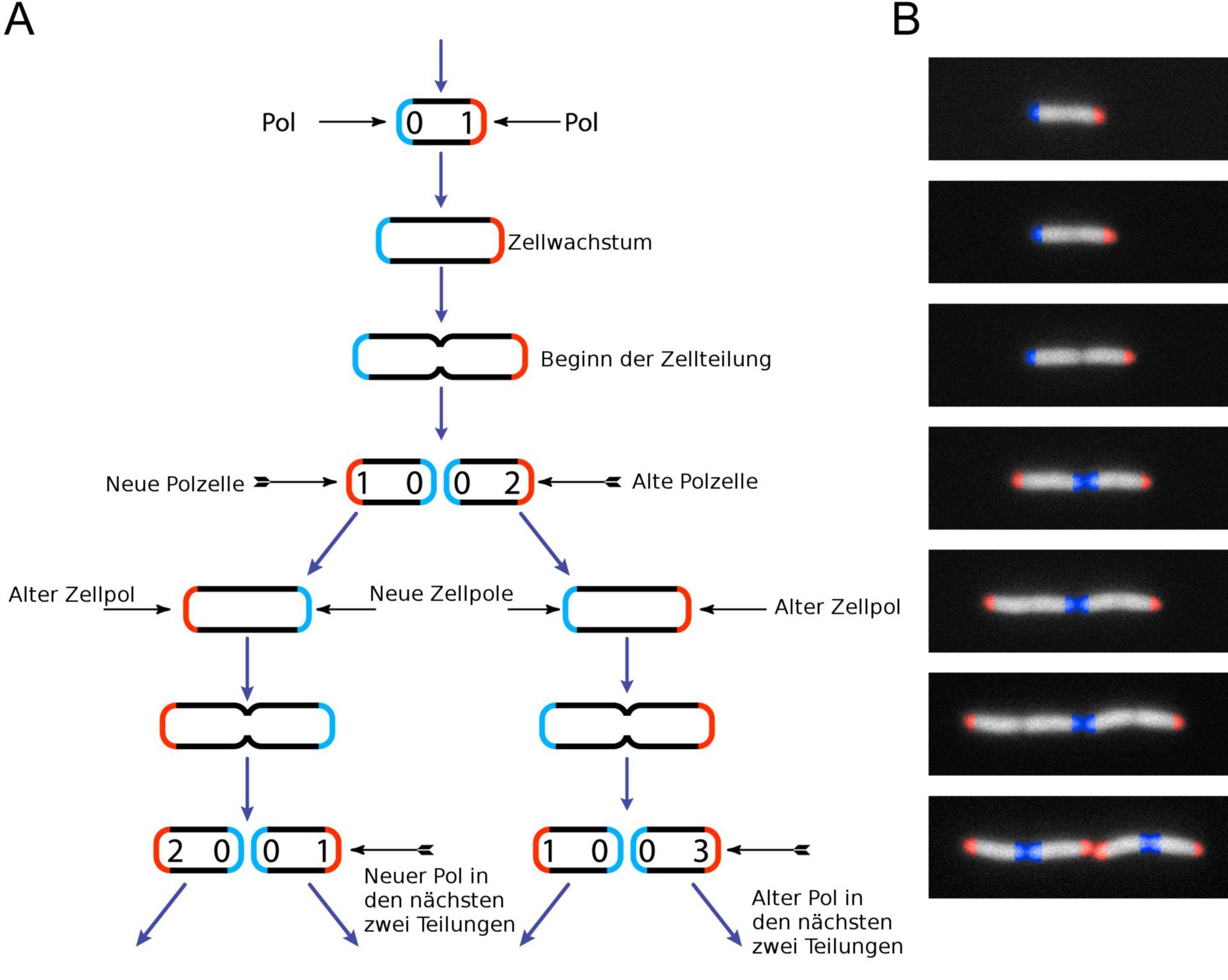 Zellteilung von Escherichia coli (Schema)