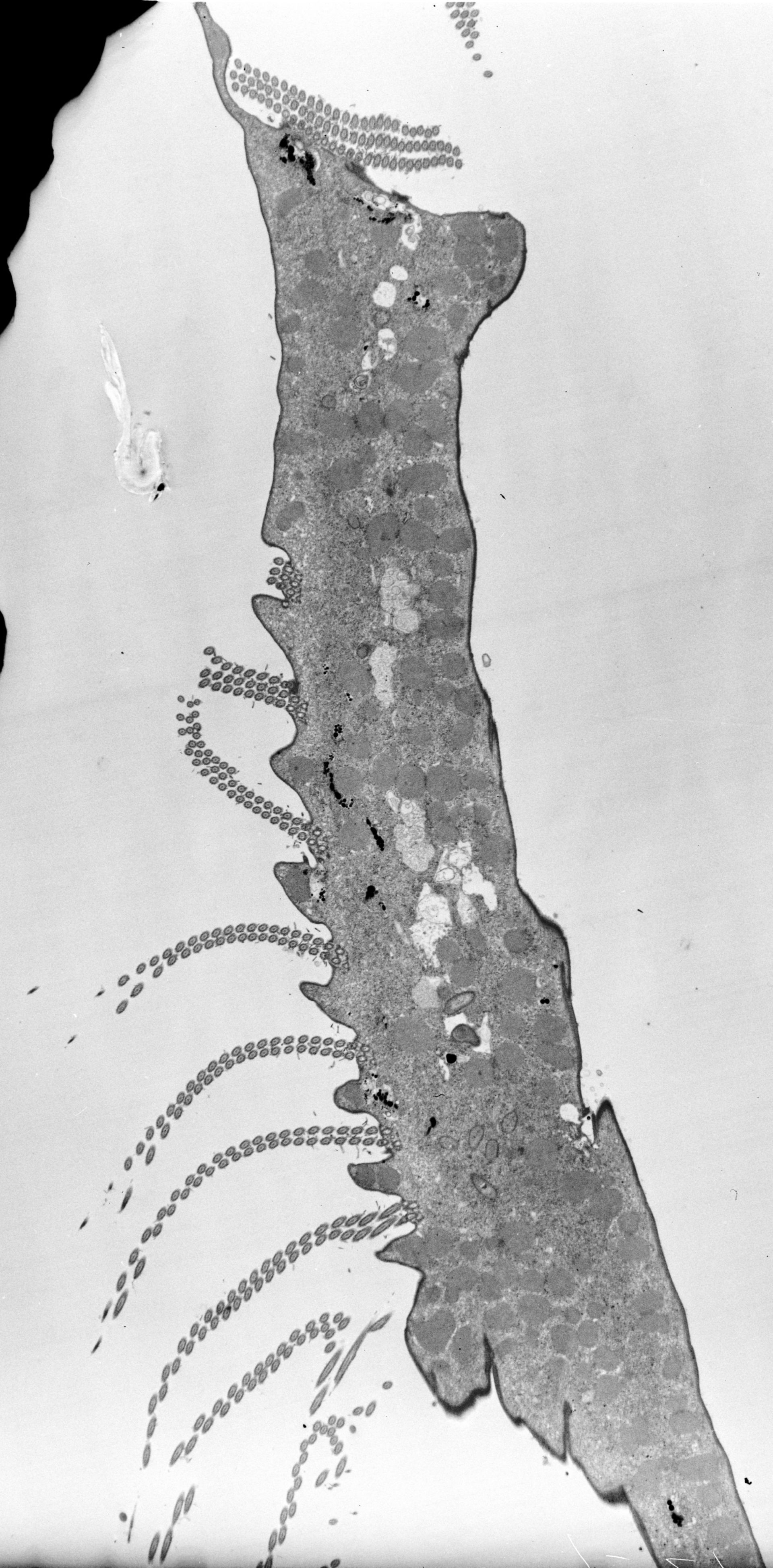 Euplotes sp. (citoplasma) - CIL:38890