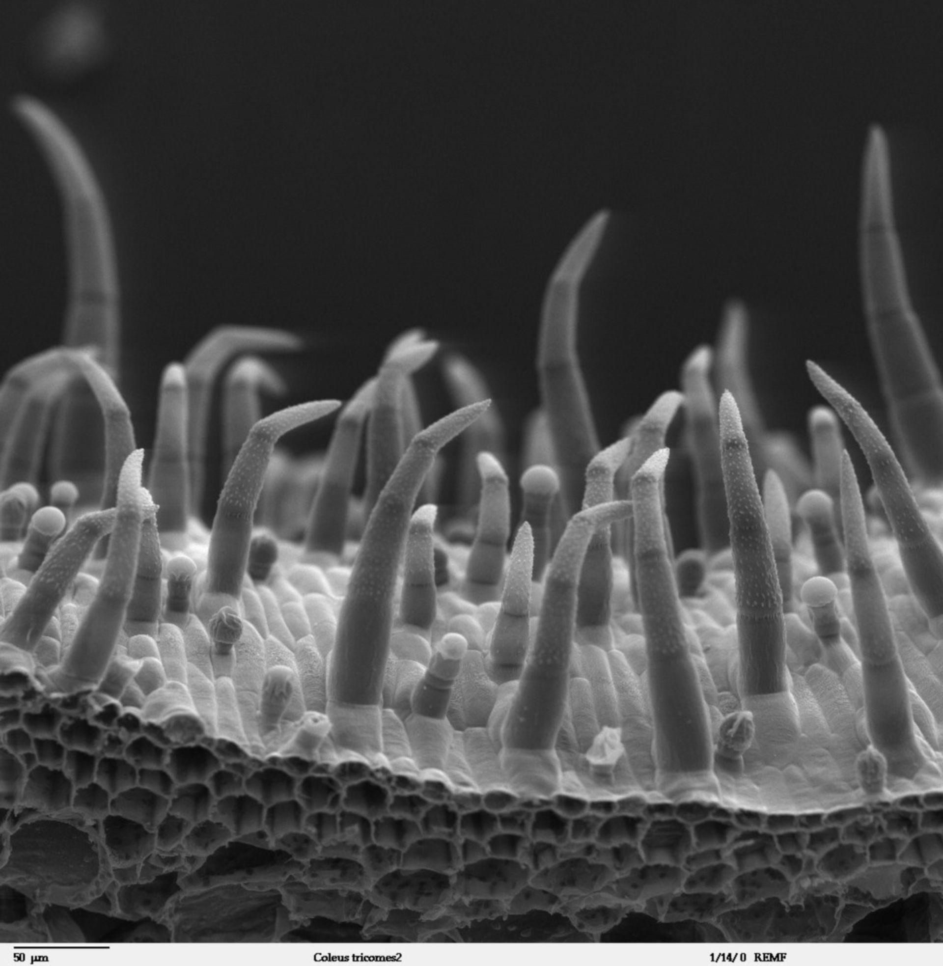 Solenostemon scutellarioides (Trichome) - CIL:40382