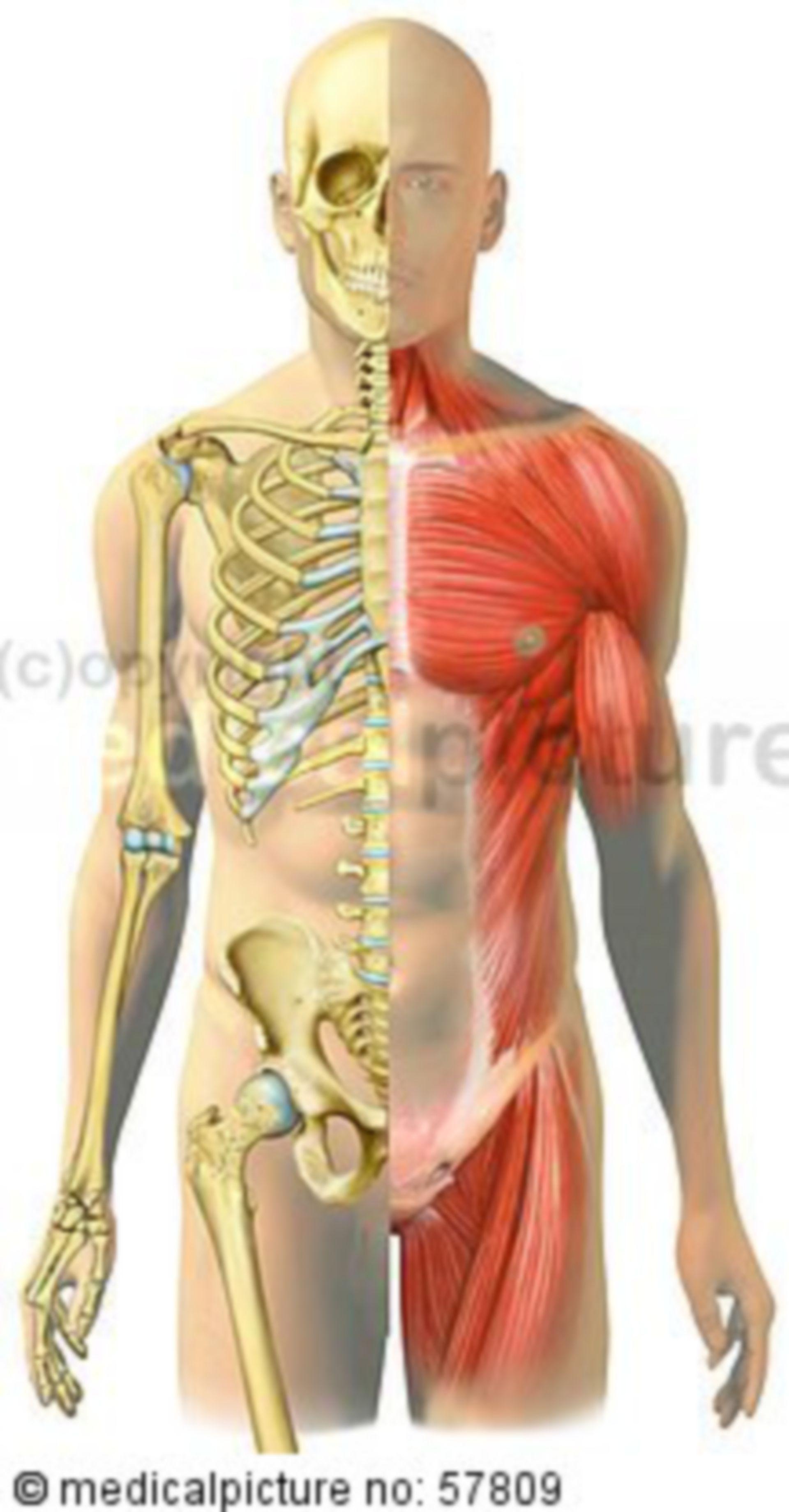 Illustrazioni anatomiche- Confronto del muscolo scheletrico