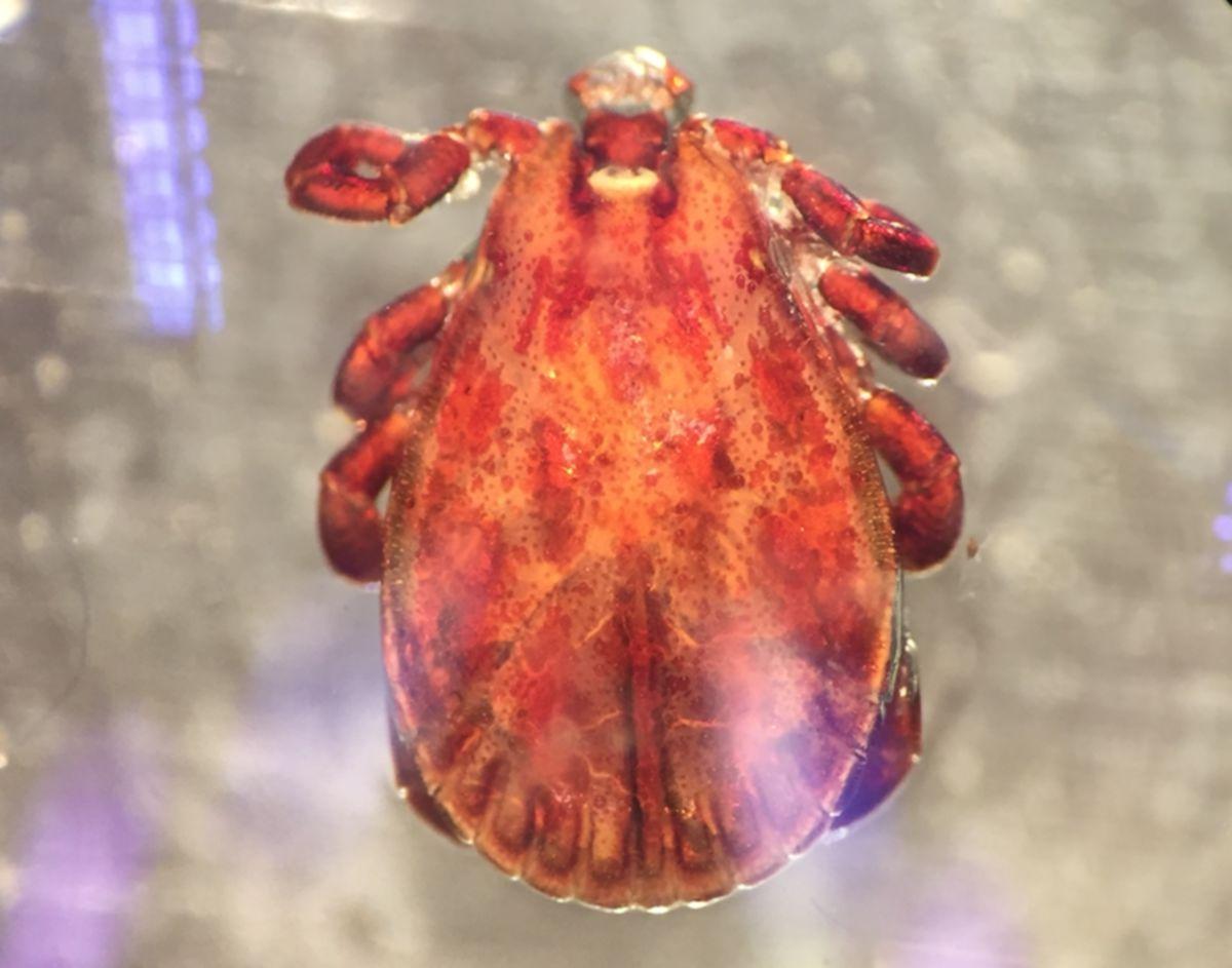 Dermacentor reticulatus