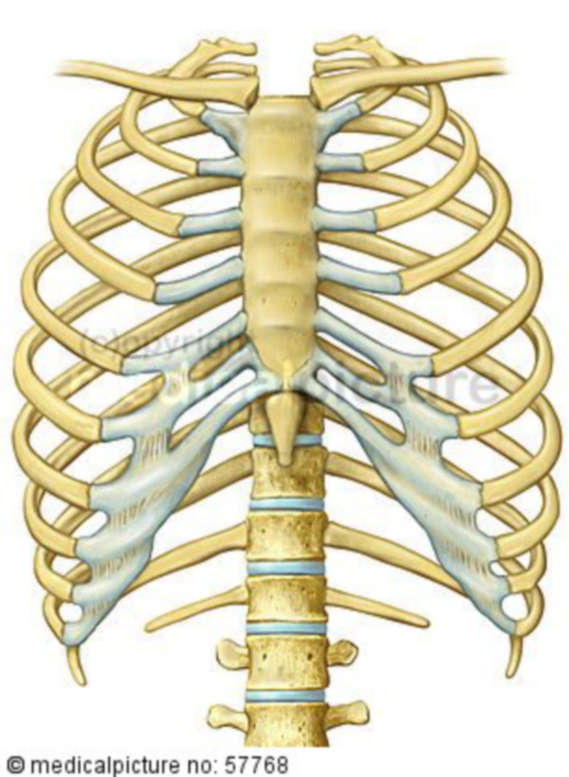 Anatomische Illustrationen - Brustkorb