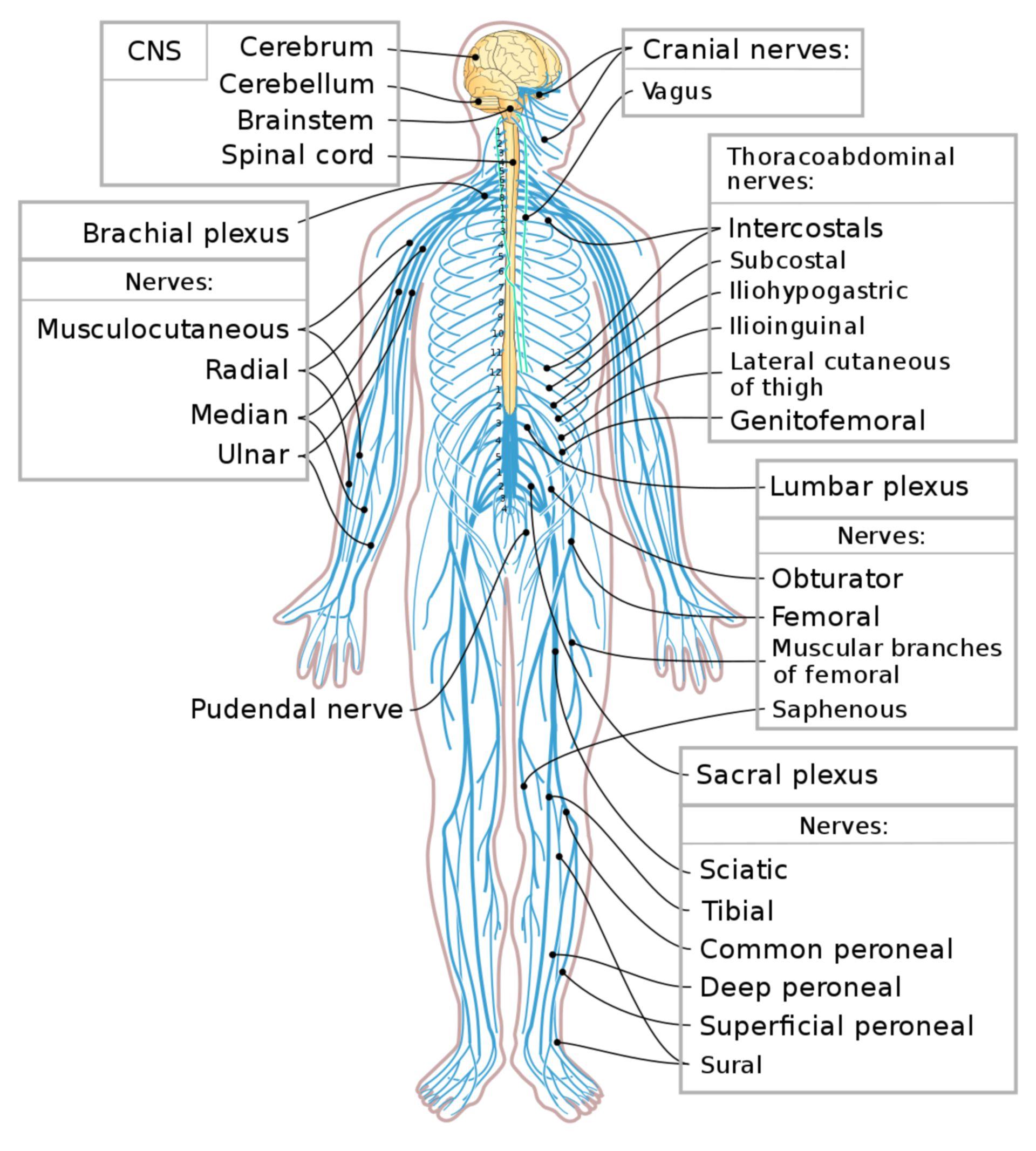 1200px-Nervous_system_diagram-en.svg