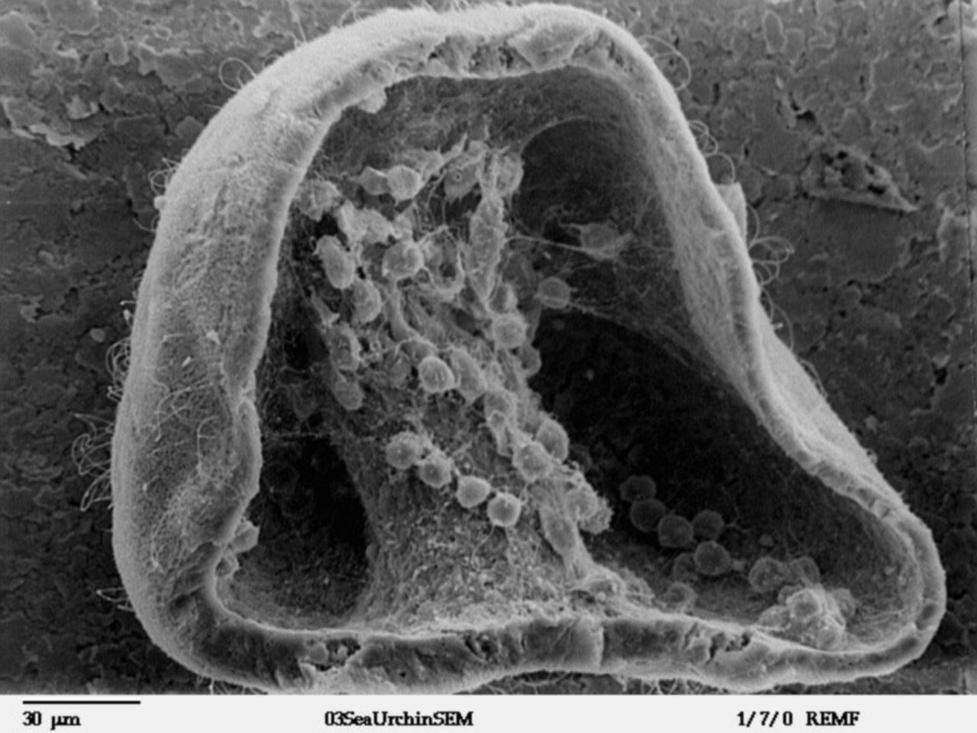 Lytechinus pictus (Extracellular matrix) - CIL:39784