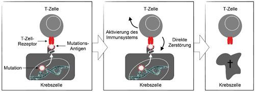 Die T-Zelle zerstört eine Körperzelle mit einem mutierten Antigen. © Matthias Leisegang