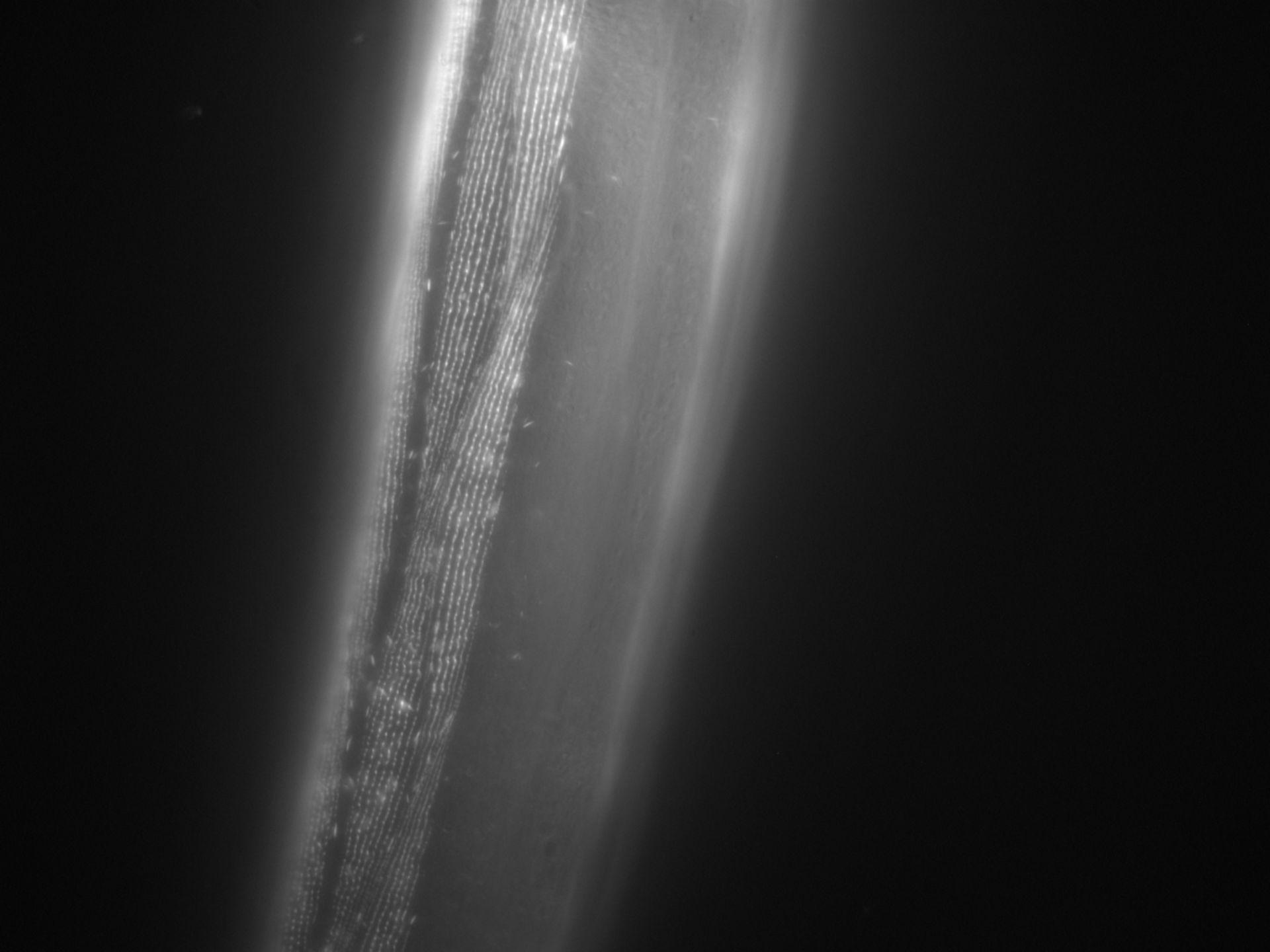 Caenorhabditis elegans (Actin filament) - CIL:1016