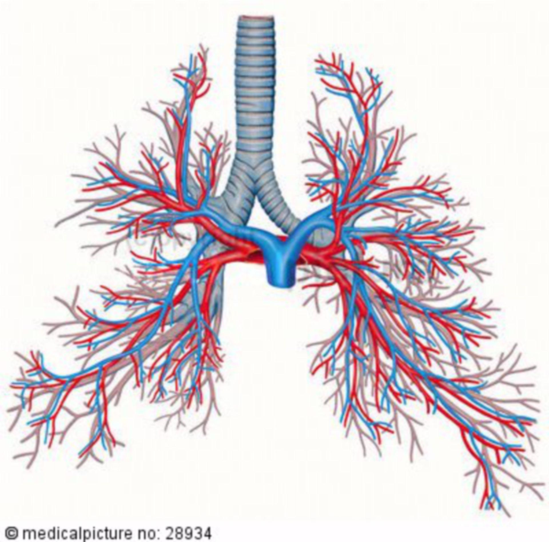 Bronchialbaum und Lungengefäße