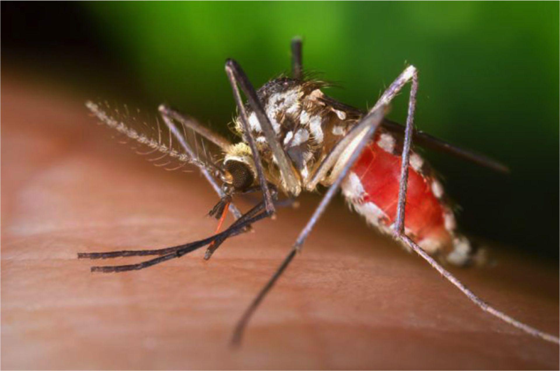 Aedes triseriatus