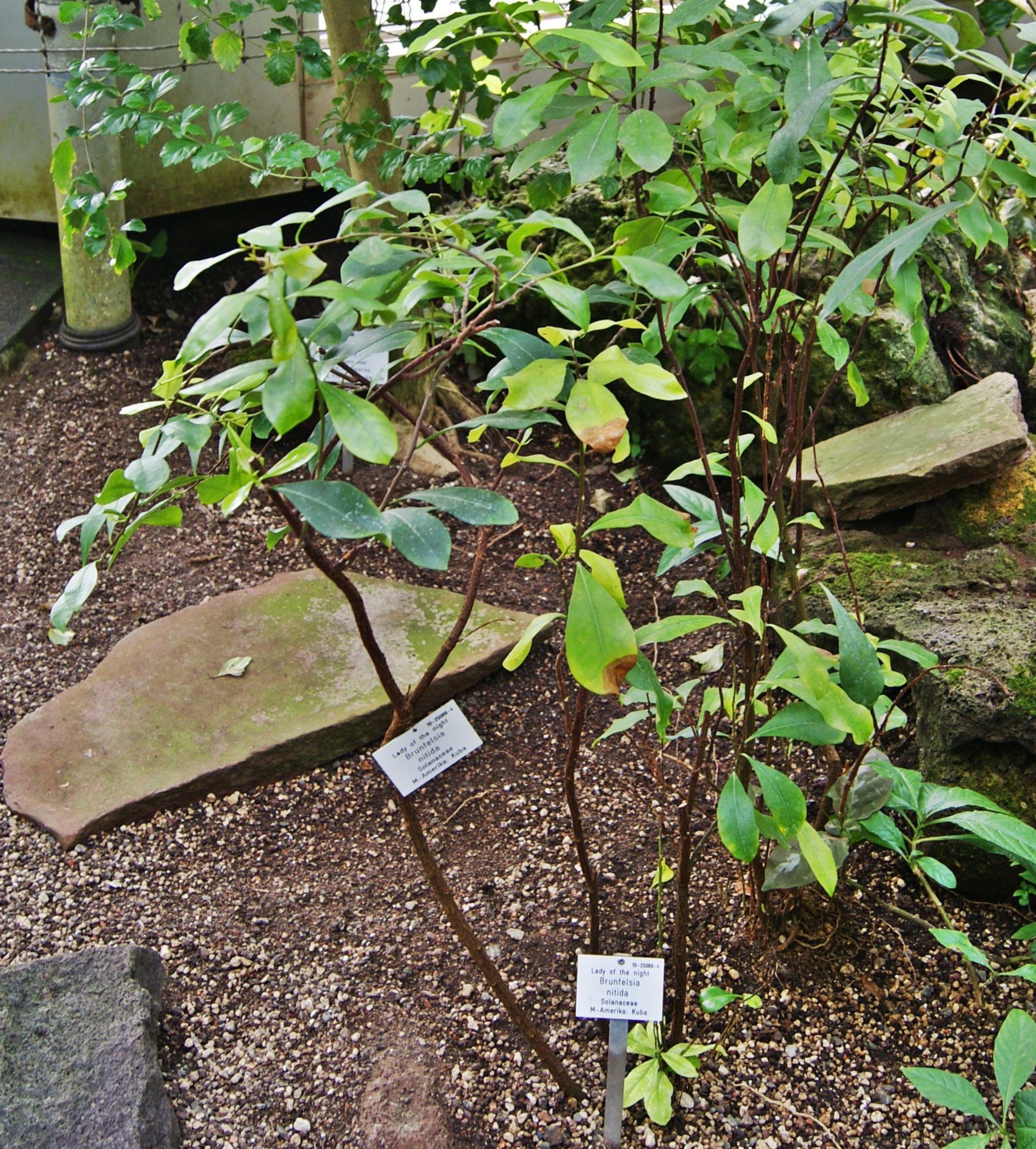 Brunfelsia nitida