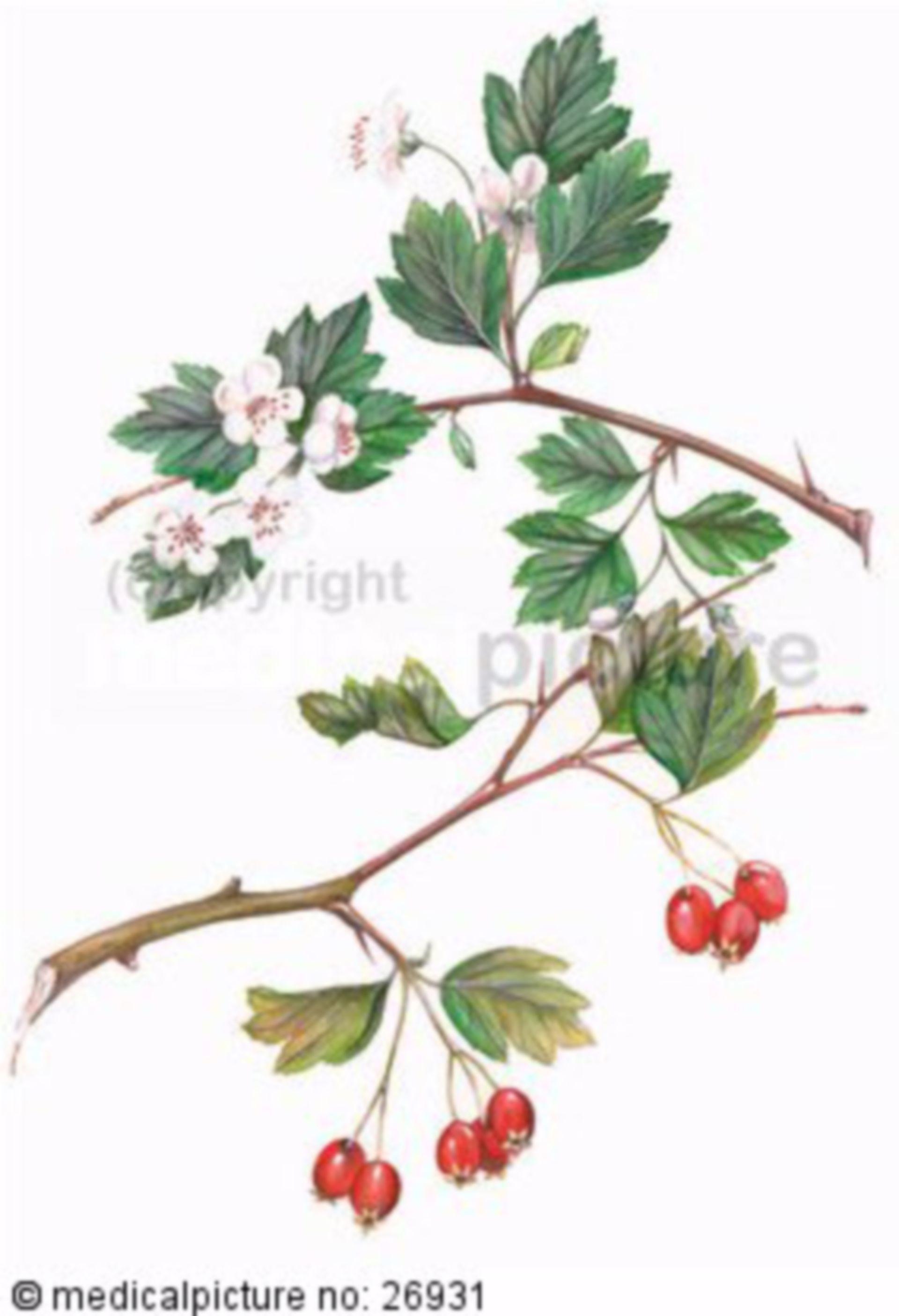 Strauch, Crataegus oxyacantha , Weissdorn