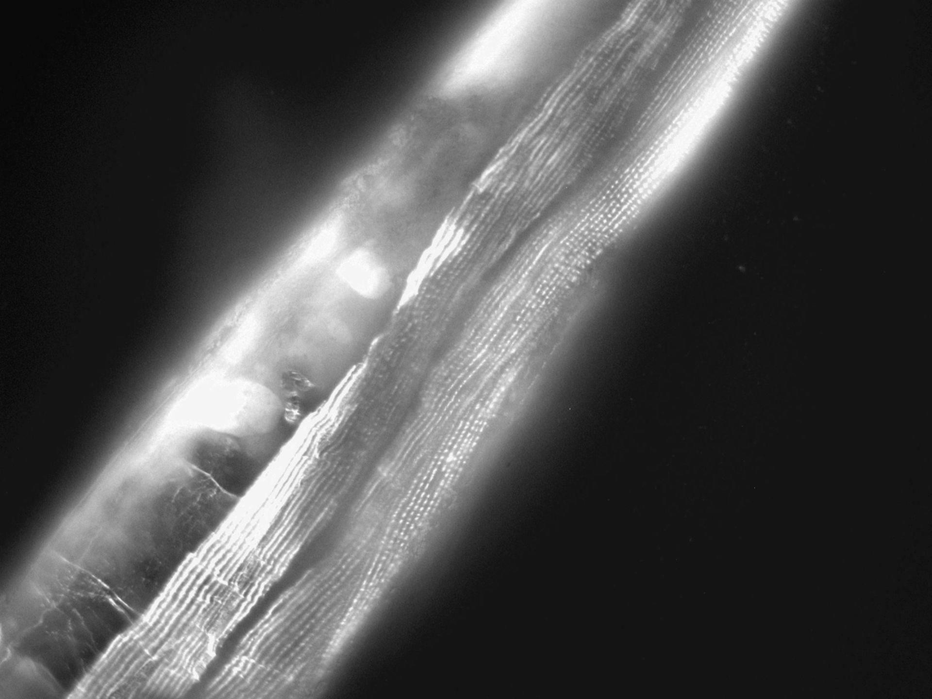 Caenorhabditis elegans (Actin filament) - CIL:1105