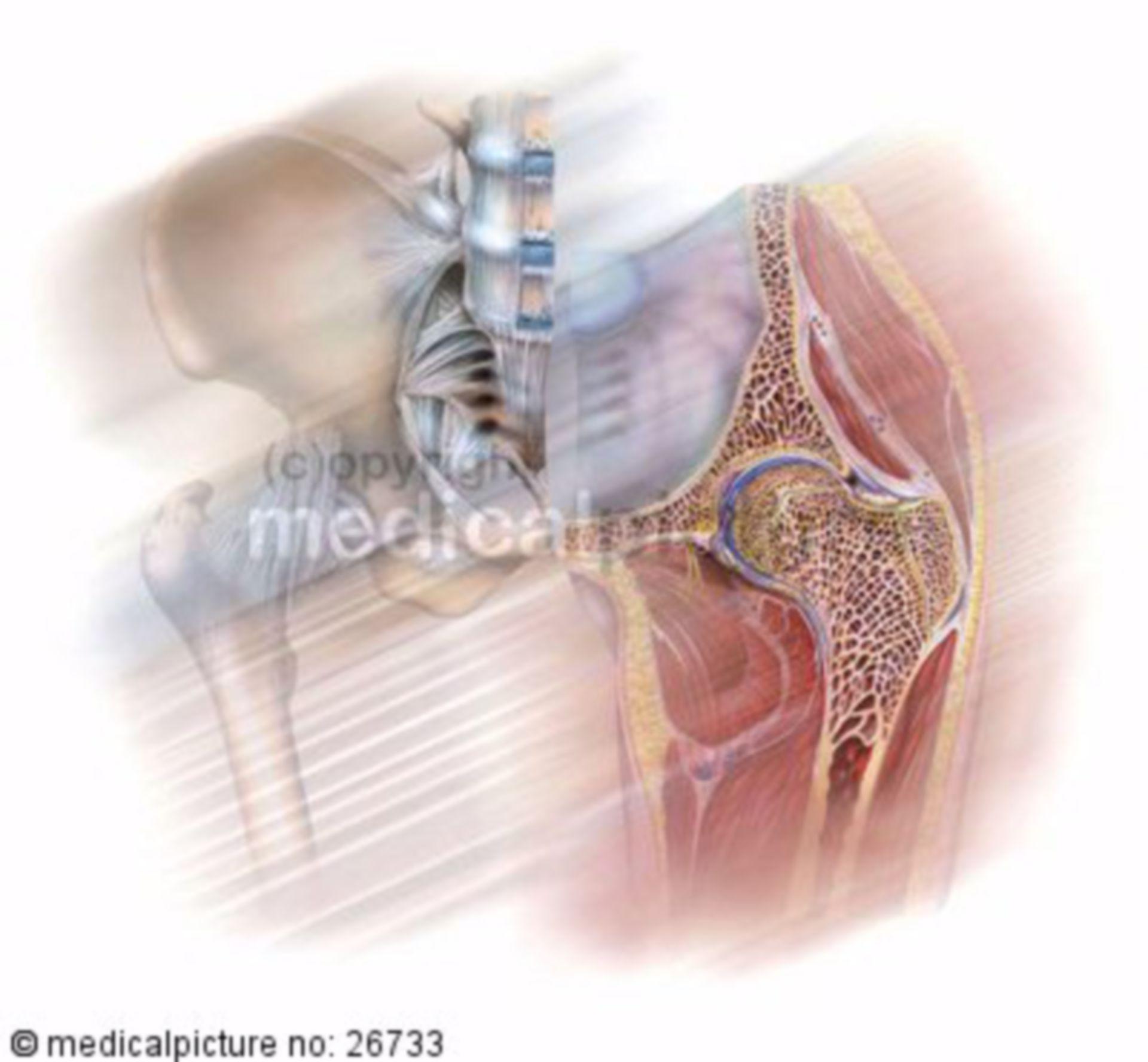 Human Hip