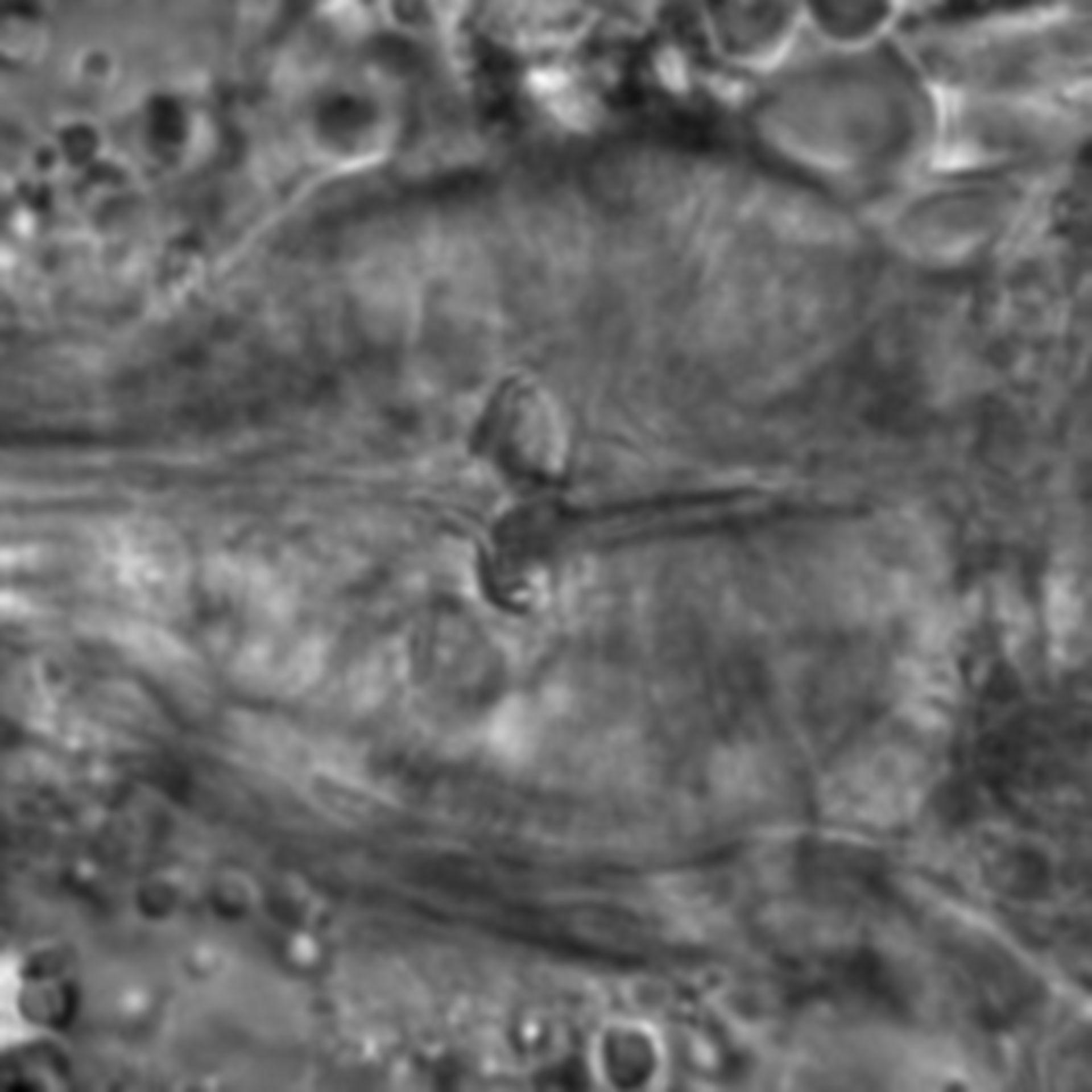 Caenorhabditis elegans - CIL:1697