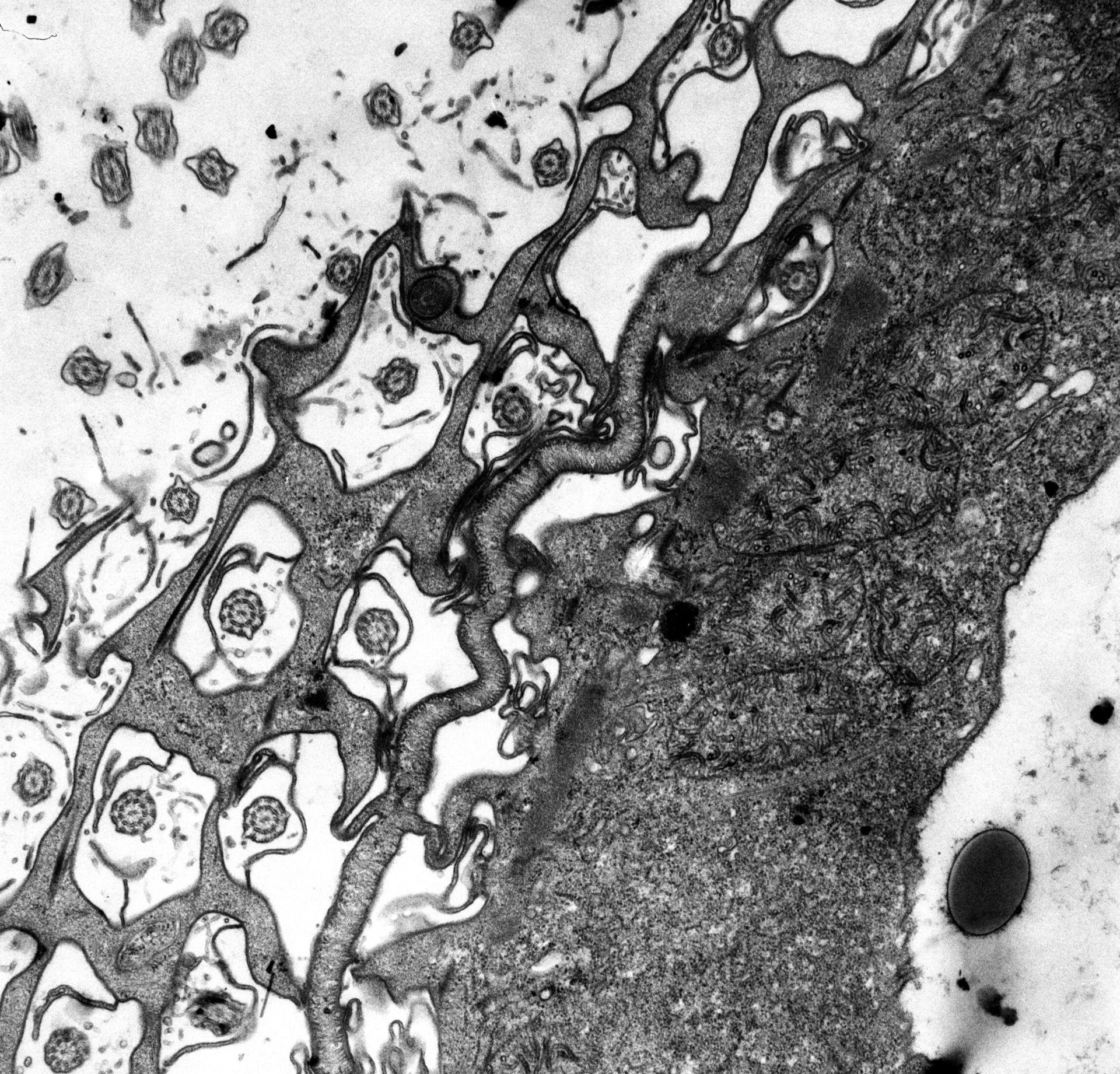 Paramecium multimicronucleatum (citoplasma) - CIL:12343