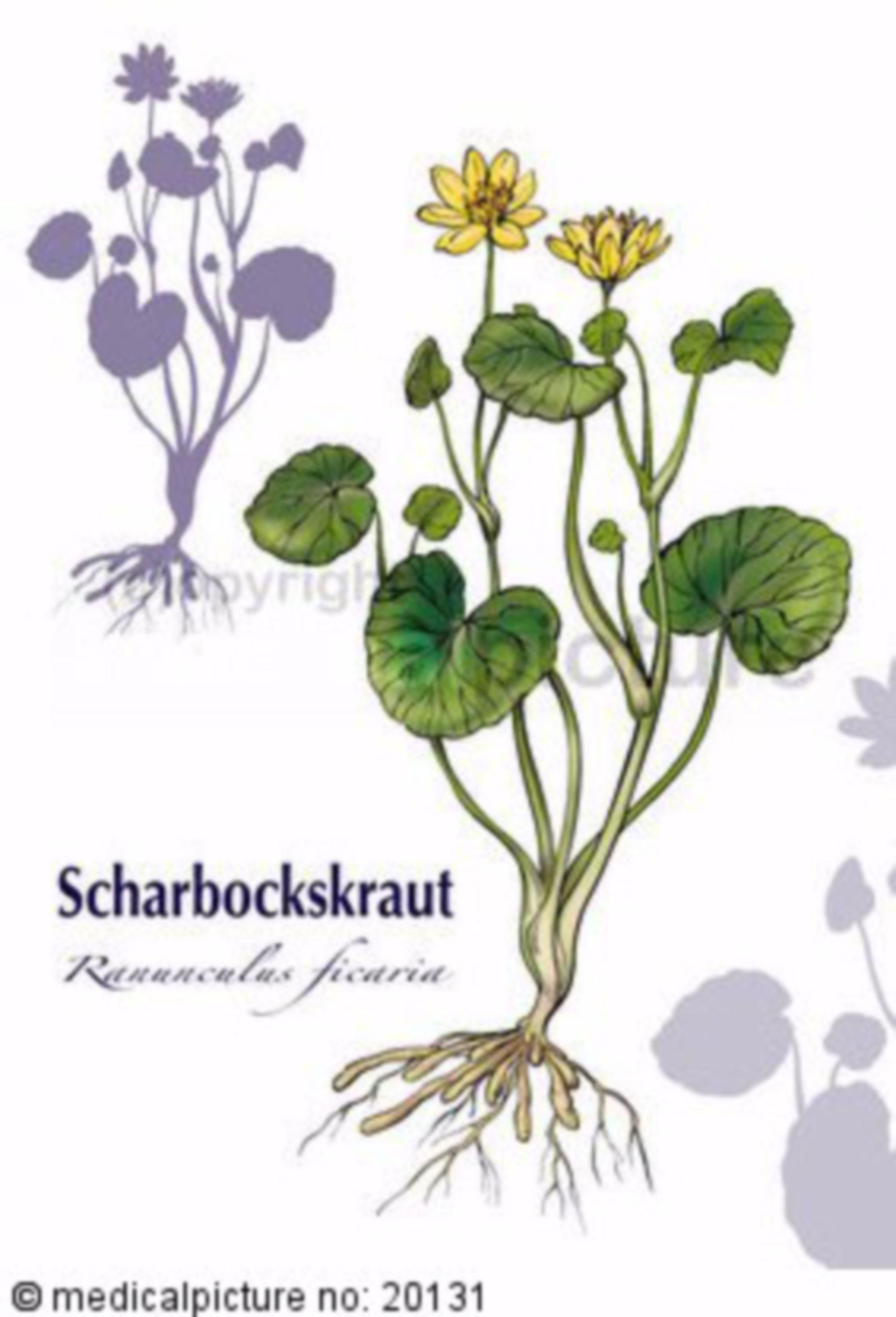 Scharbockskraut, Ranunculus ficaria