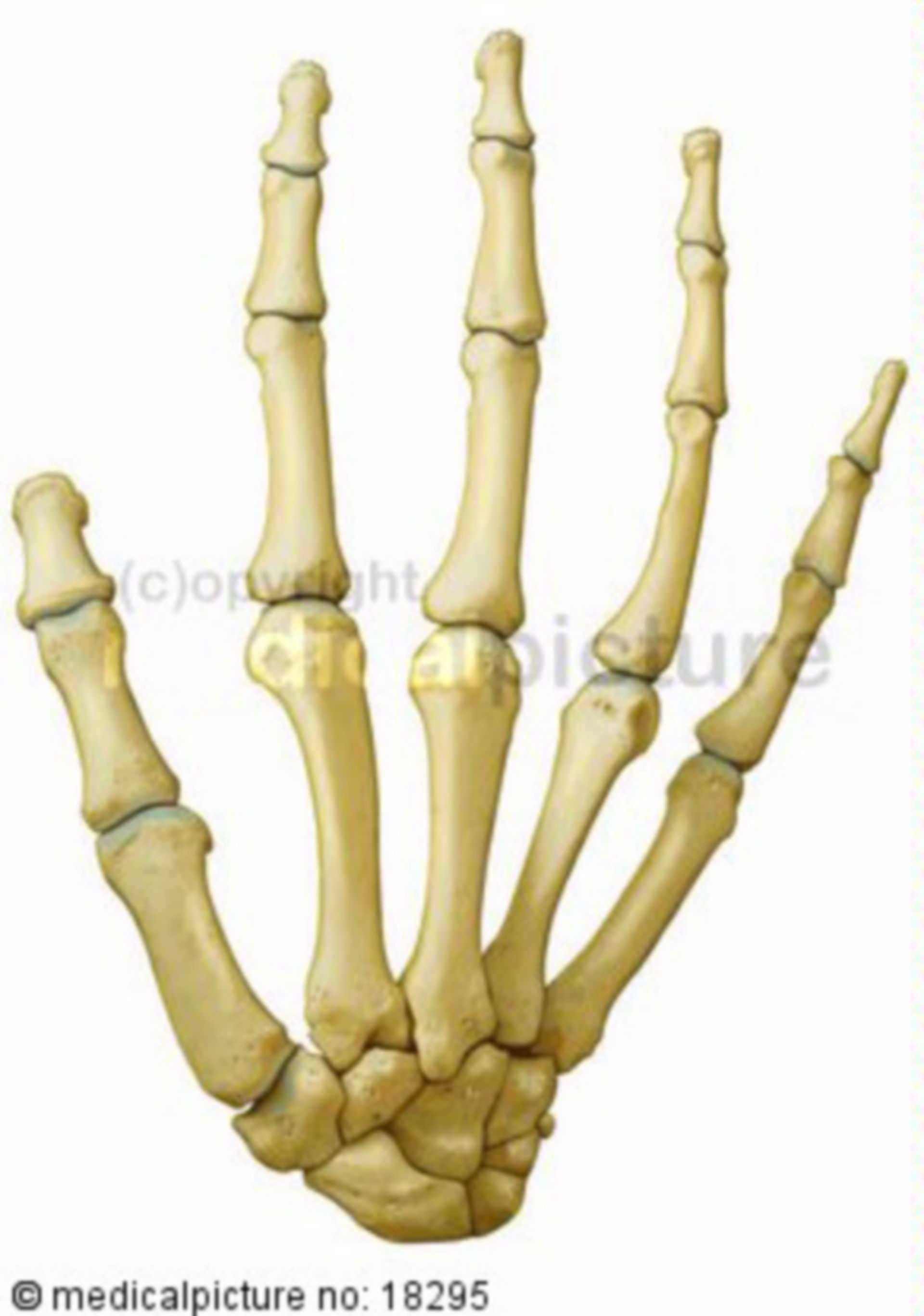Bones and joints of the hand