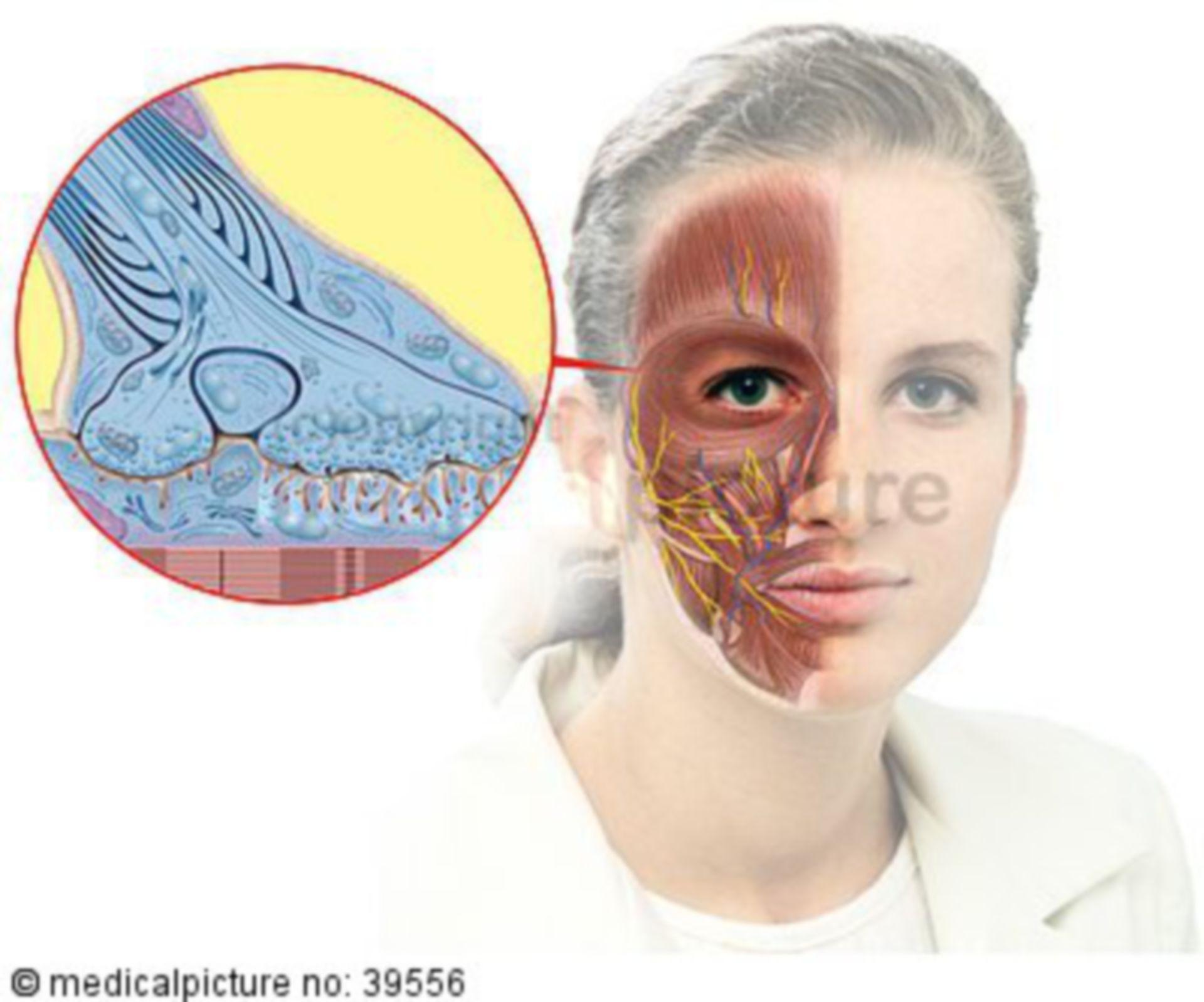 Botox and Mimic Musculature