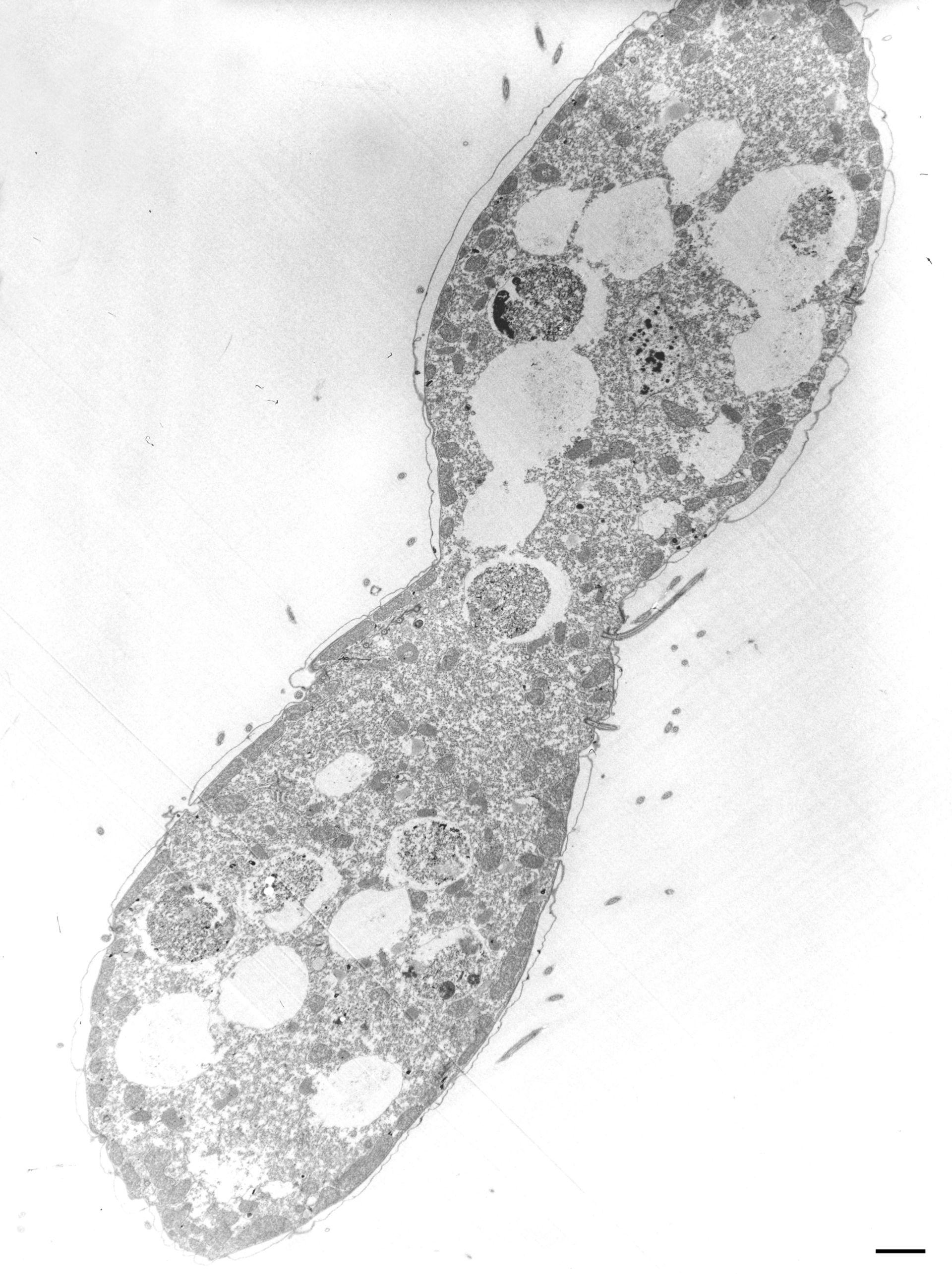 Tetrahymena pyriformis (Cell) - CIL:36240