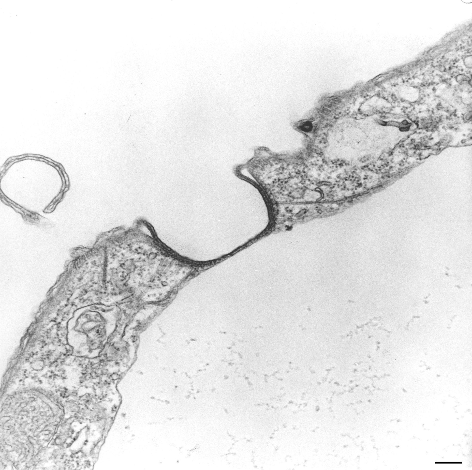 Tetrahymena pyriformis (complesso associato ai microtubuli) - CIL:130