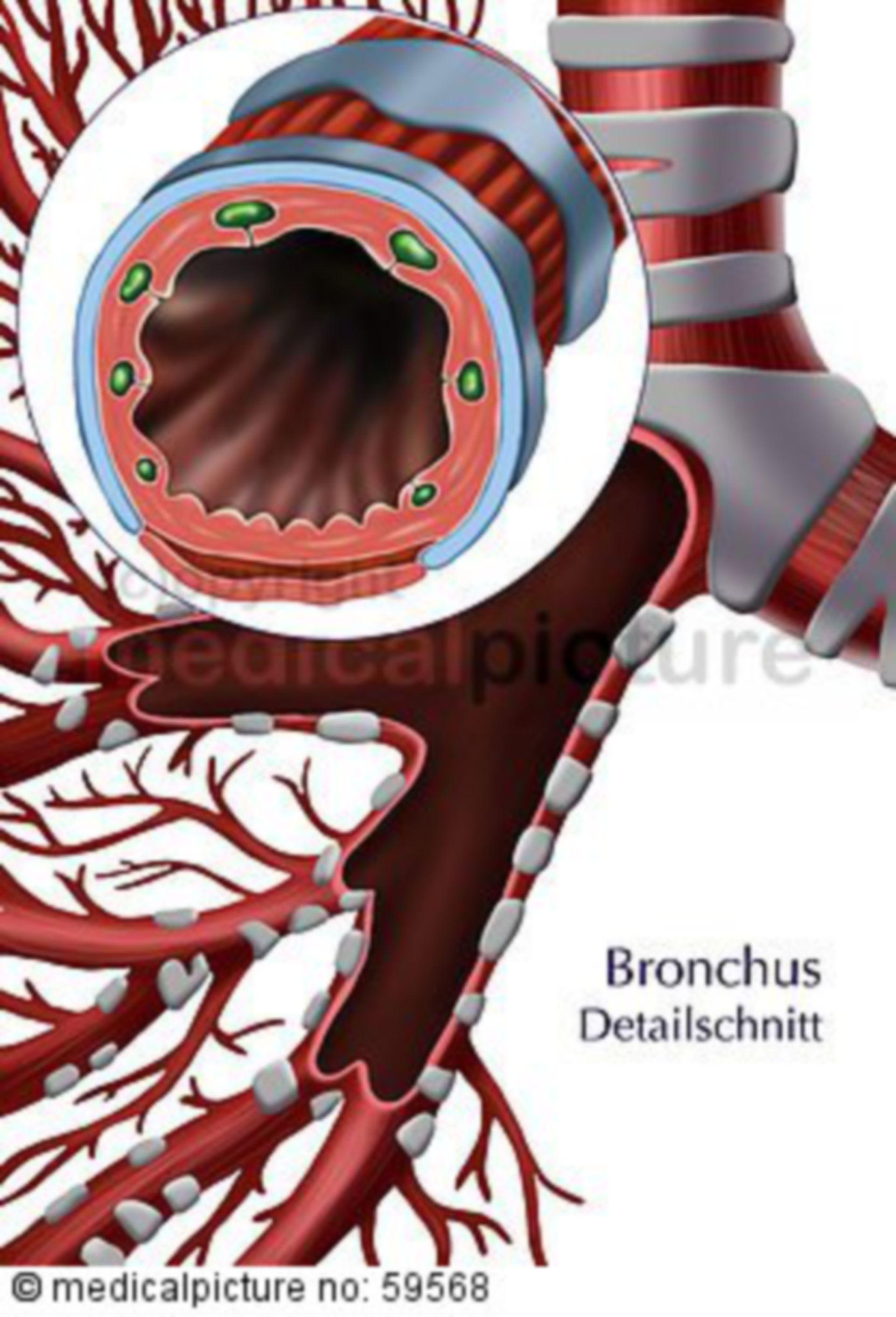 Bronchialbaum und Bronchus