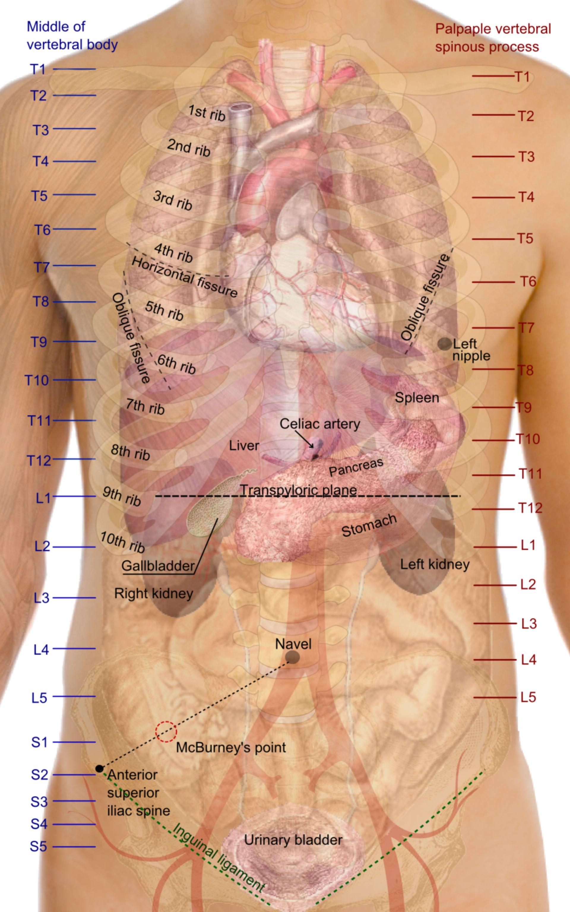 Proyecciones de superficie de los órganos del tronco