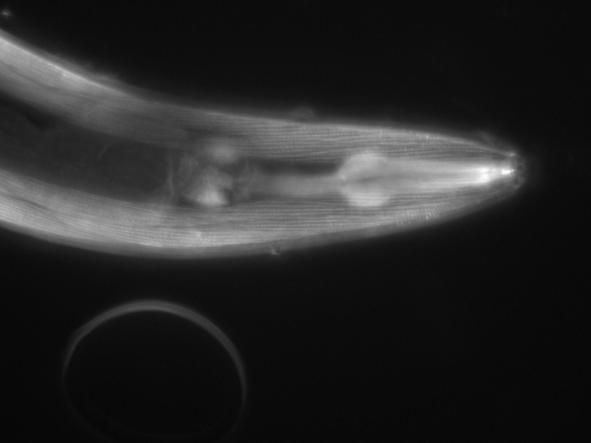 Caenorhabditis elegans (filamento di actina) - CIL:1075