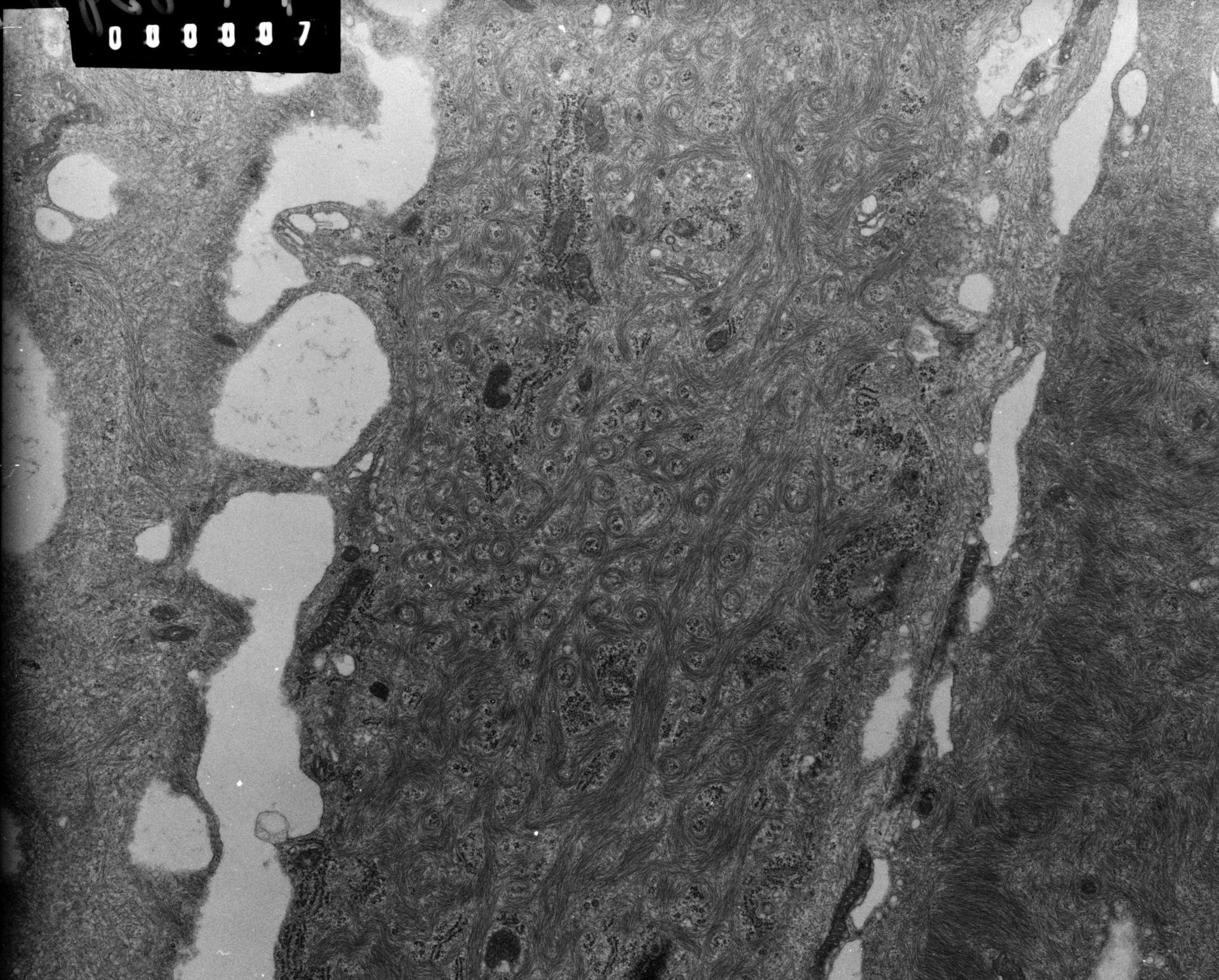 Rana catesbeiana (Plasma membrane) - CIL:9301