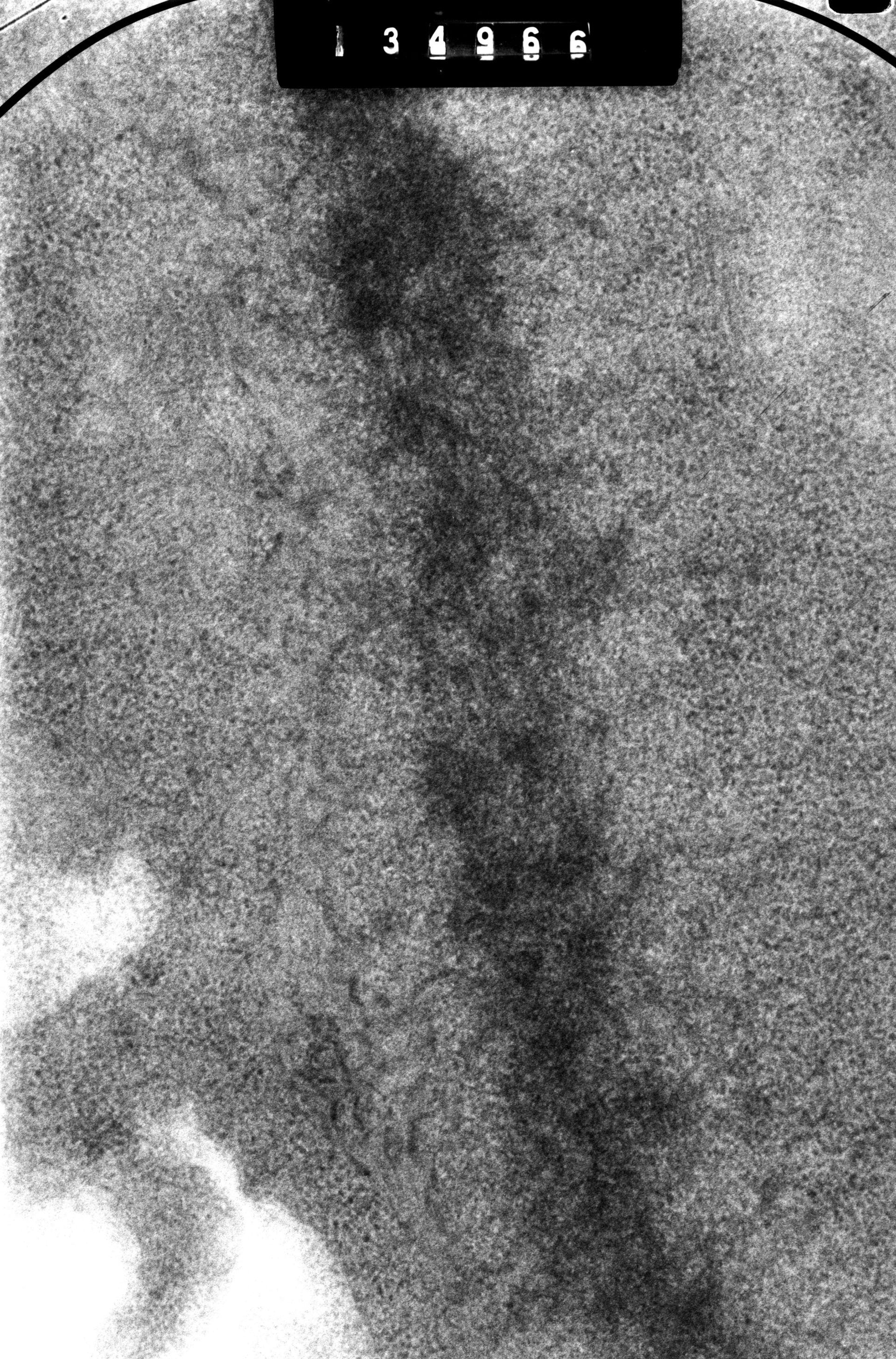 Cricetulus griseus (chromosoma nuclear) - CIL:41722