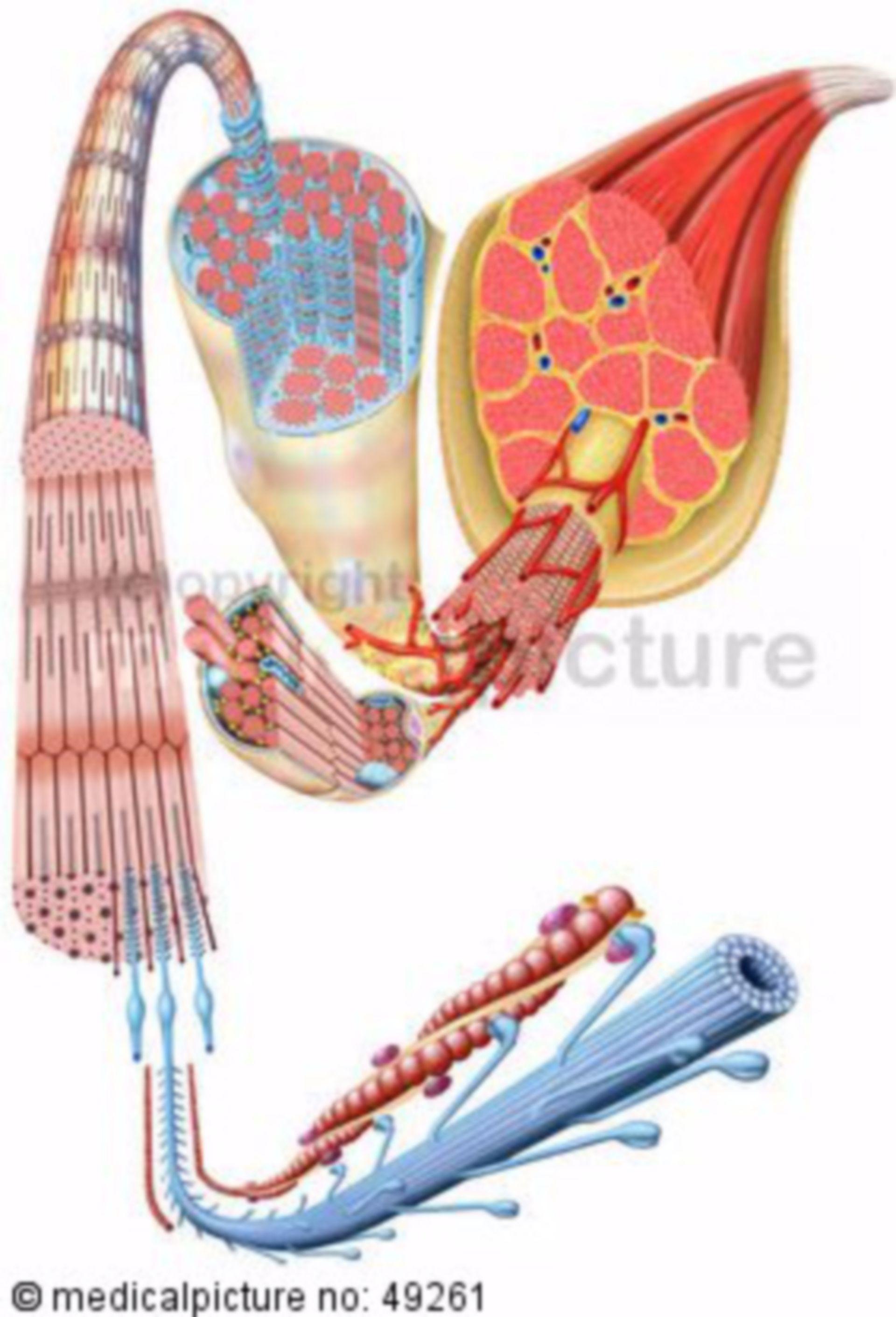 Skeletal striated muscle