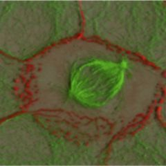 releaase reifen spermien in den tubuli seminiferi