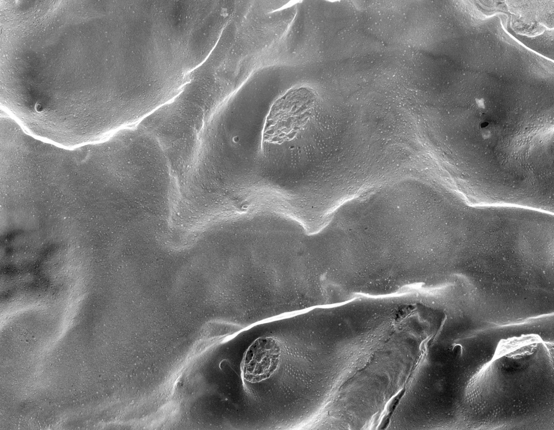 Paramecium multimicronucleatum (Trichocisti)- CIL:39317