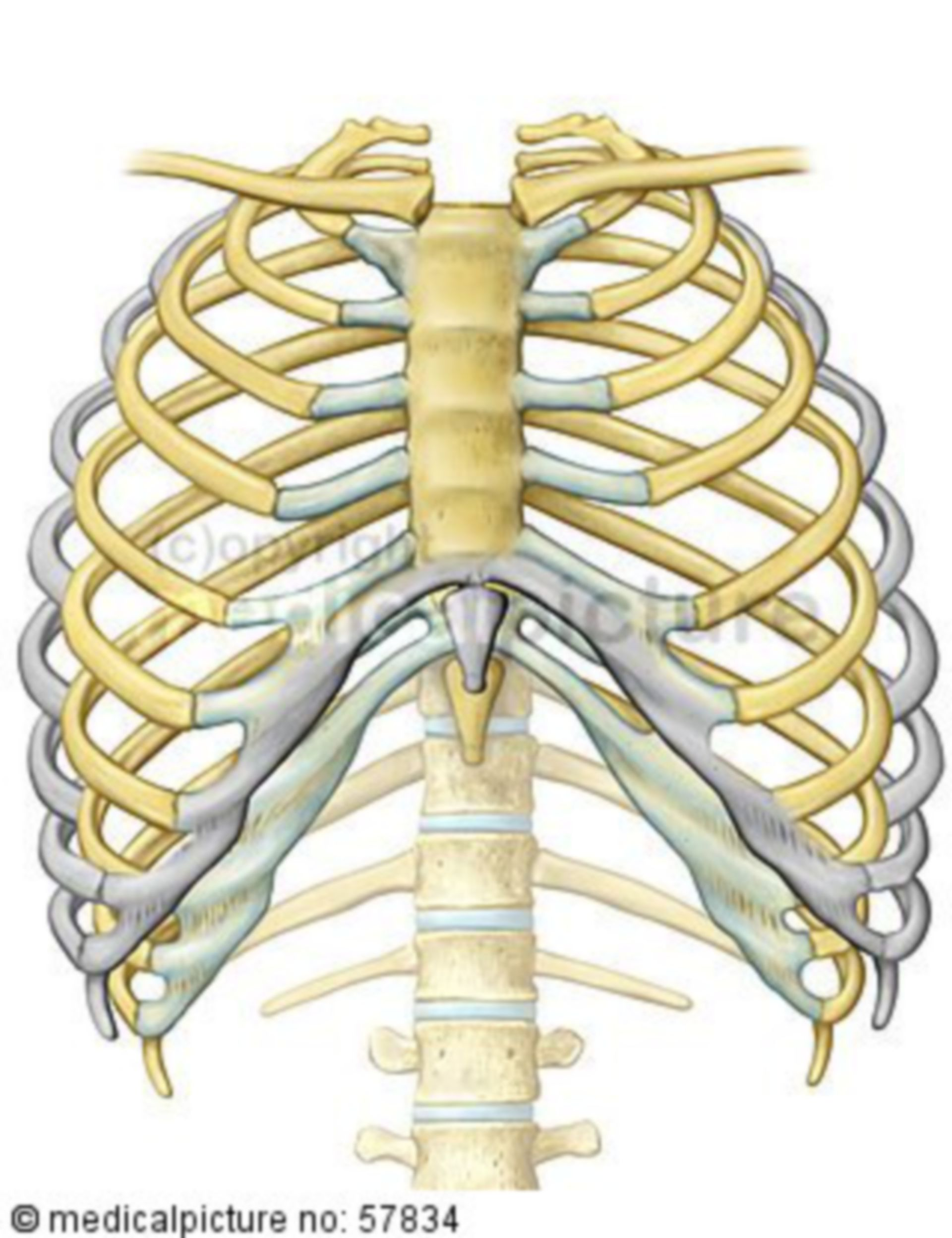 Anatomic illustration - breathing (distension of the thorax)
