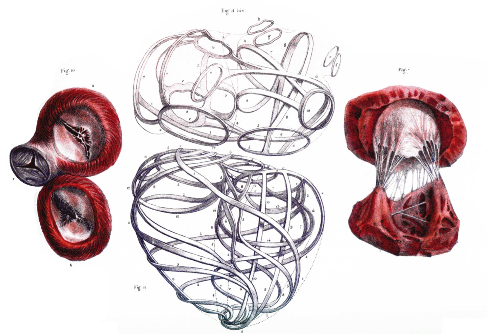 Herzklappen und Bindegewebe