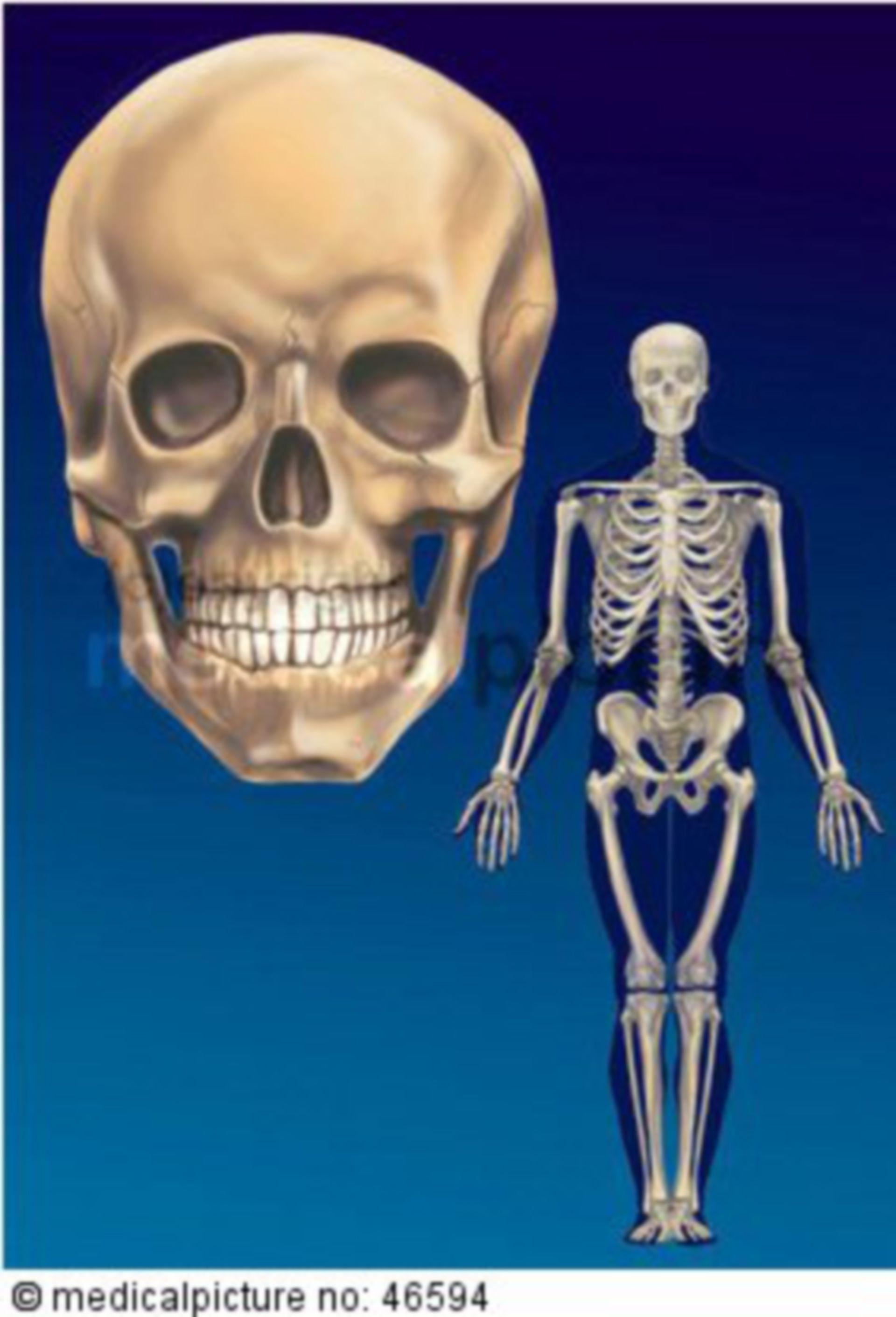 Menschliches Skelett und Schädel
