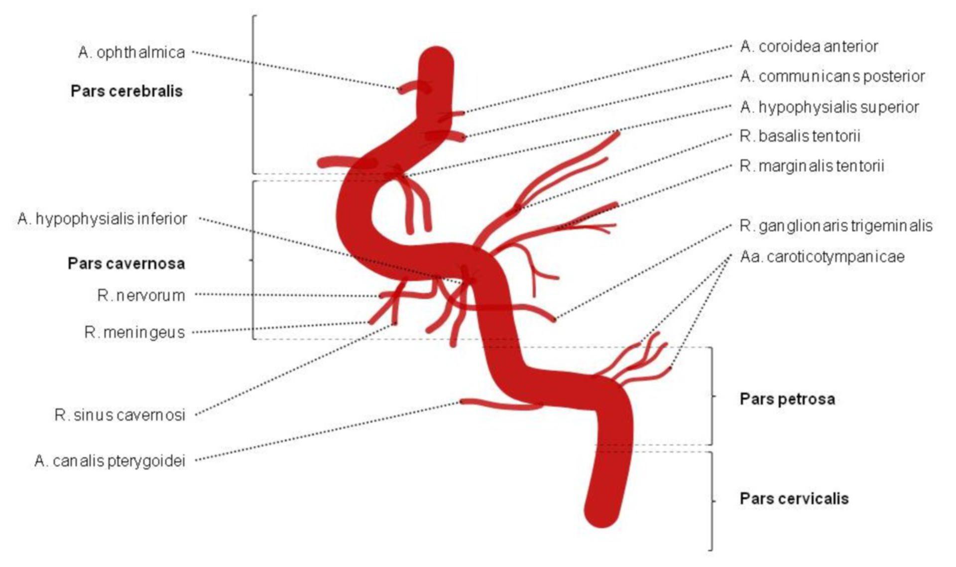 Arteria carótida interna - secciones y ramas