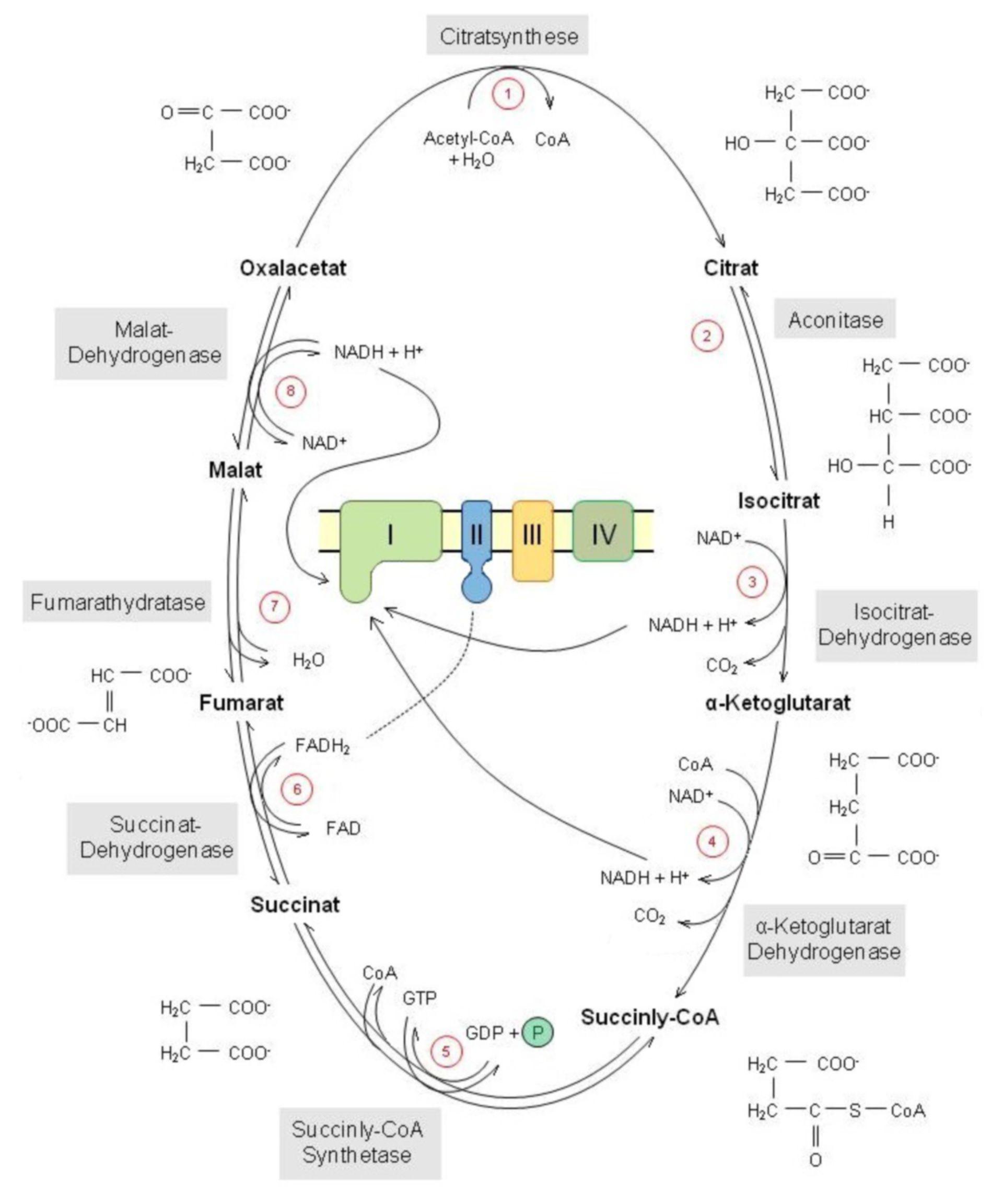Ciclo del ácido cítrico