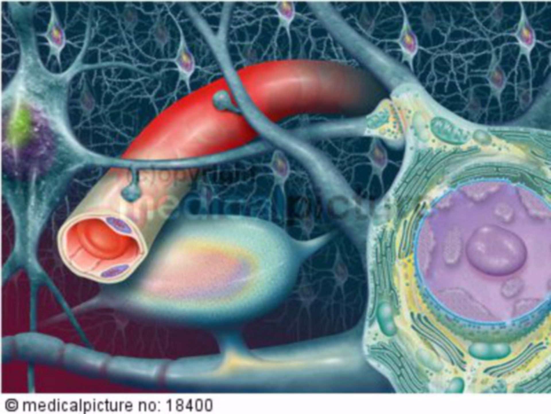 Nerve cells in the brain, bessels