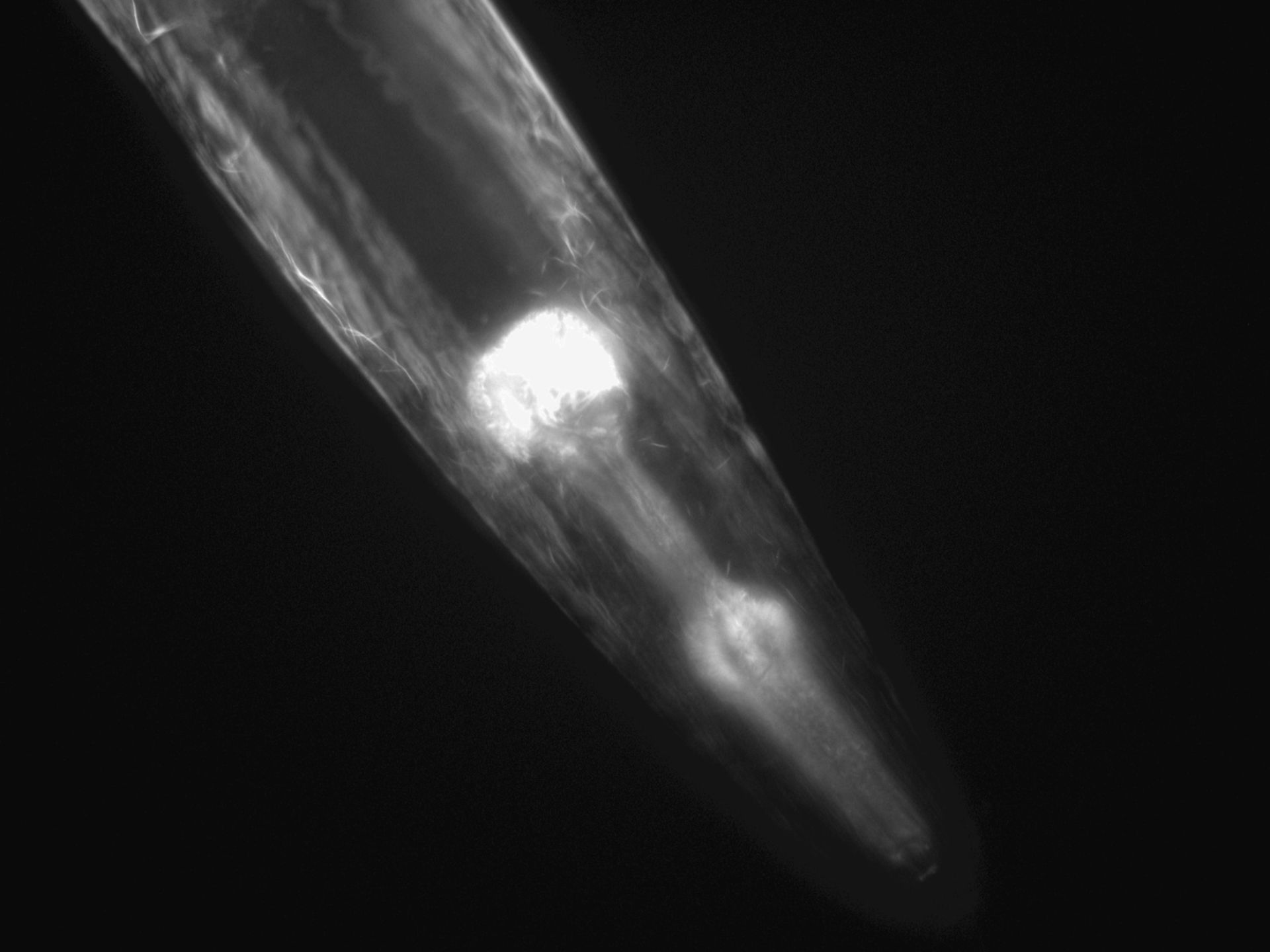 Caenorhabditis elegans (Actin filament) - CIL:1271