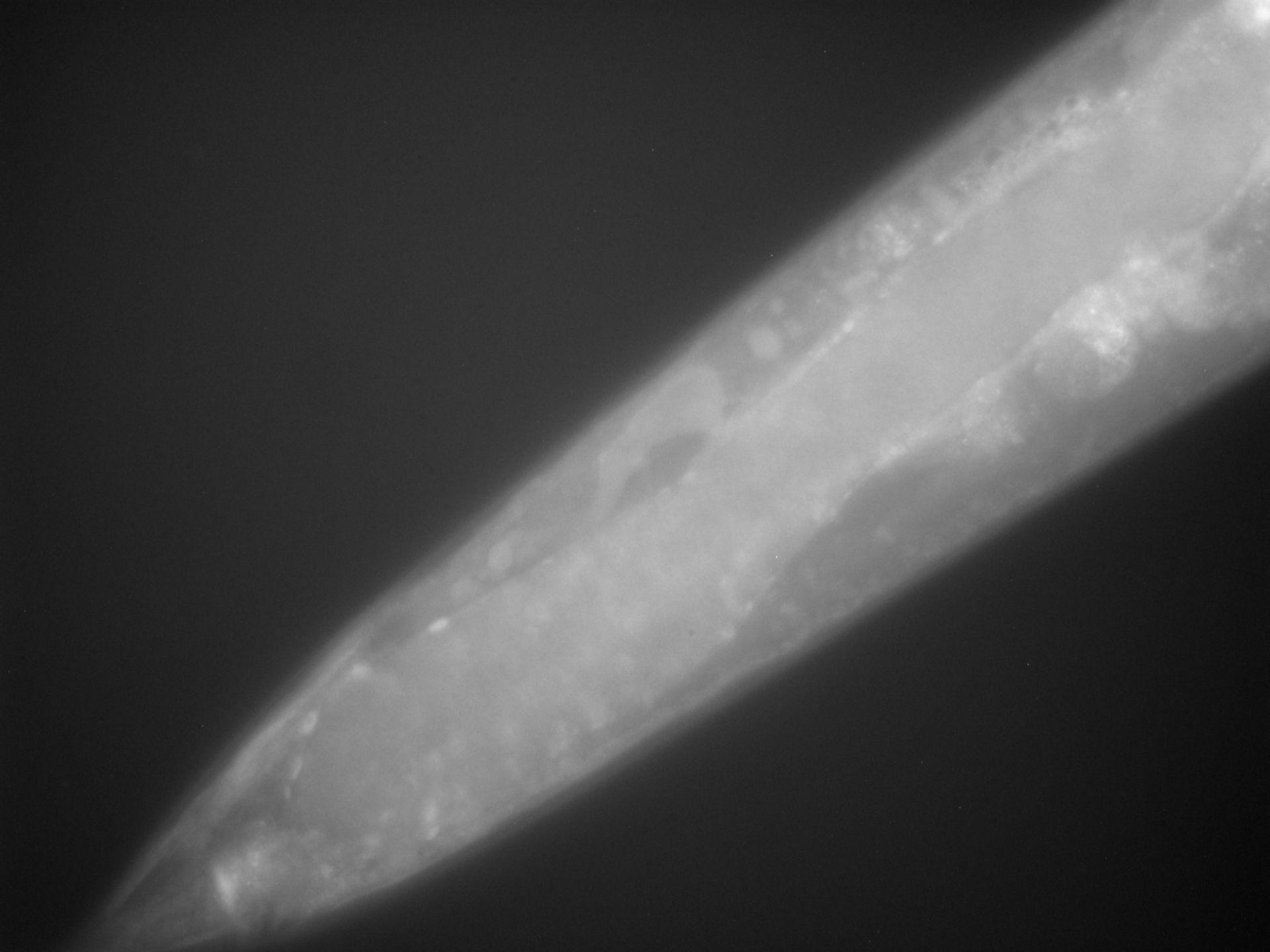 Caenorhabditis elegans (filamento di actina) - CIL:1284