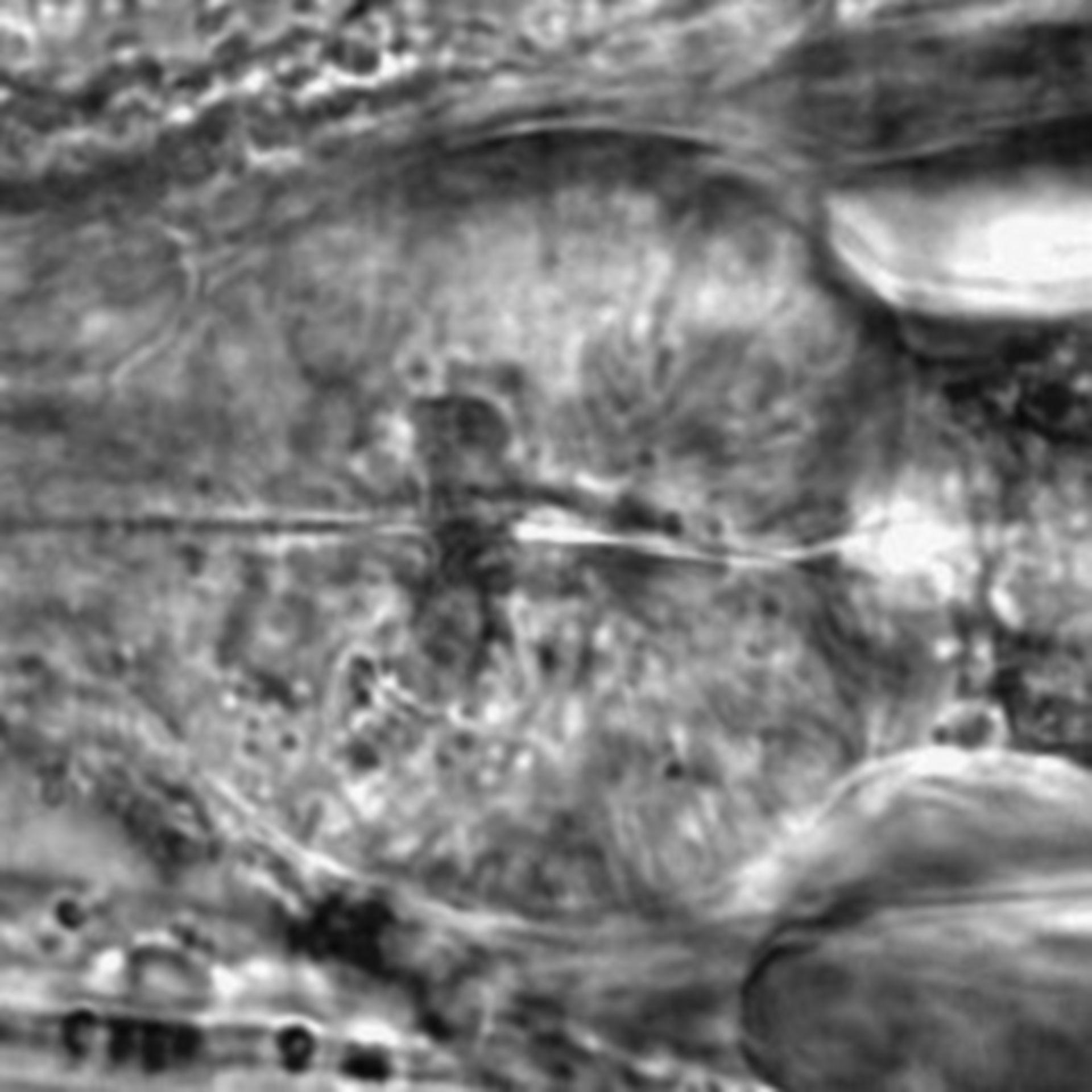 Caenorhabditis elegans - CIL:1929