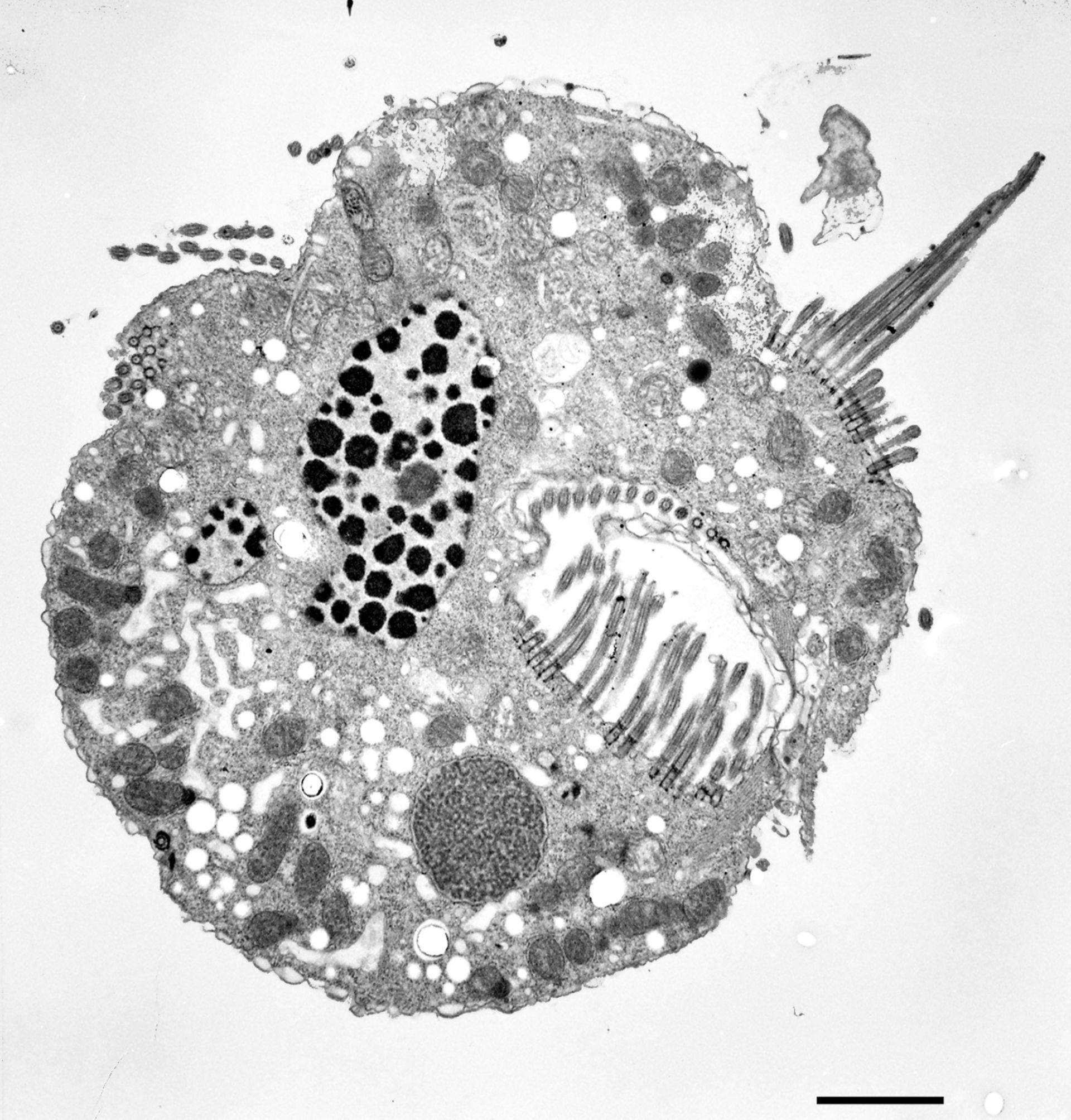 Halteria grandinella (apparato orale) - CIL:12326