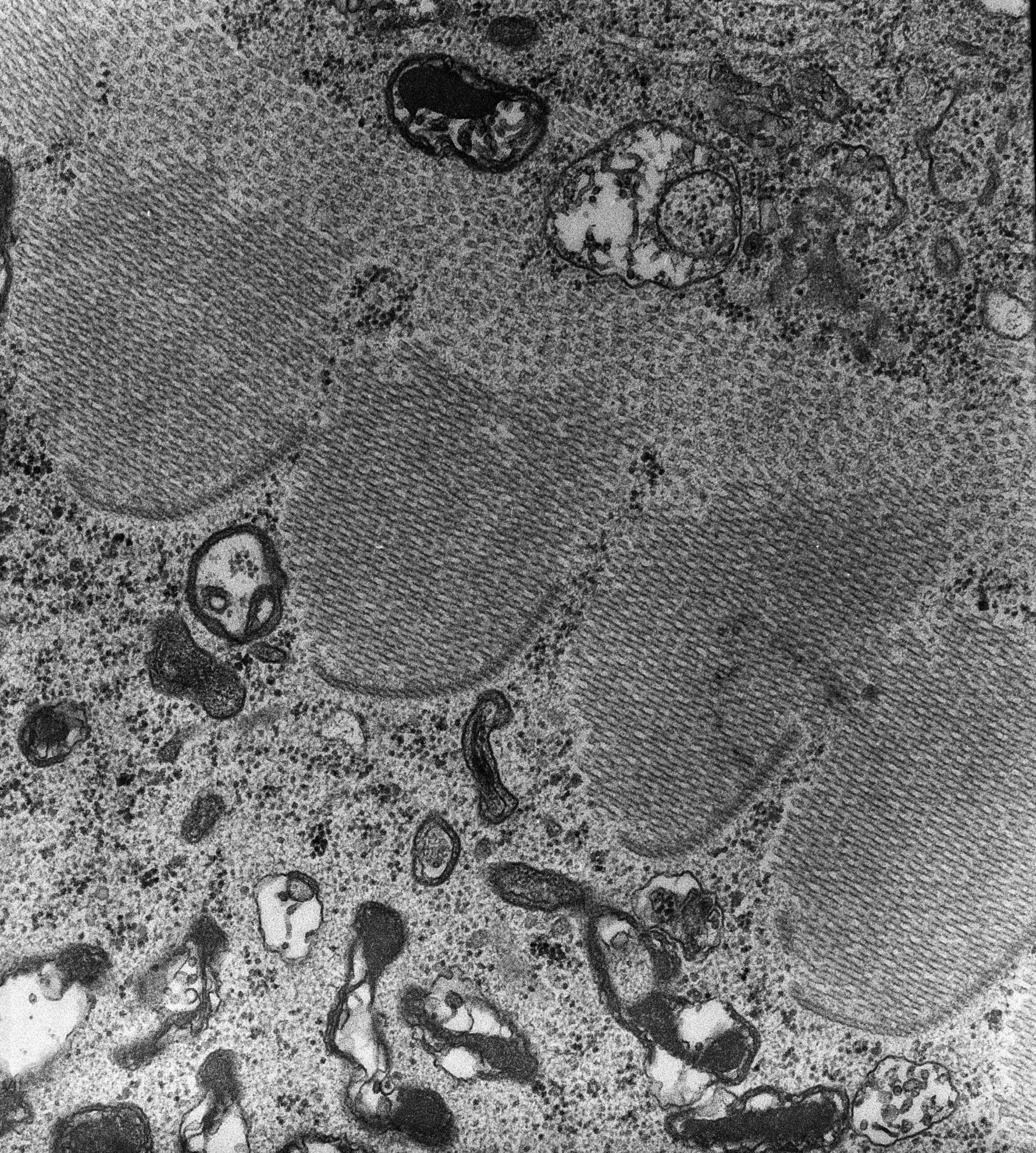 Nassula (complesso associato ai microtubuli) - CIL:7667