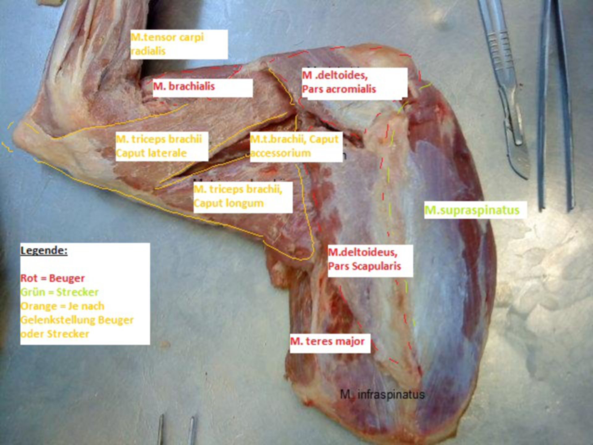 Muscles of the front limbs of a dog (2)