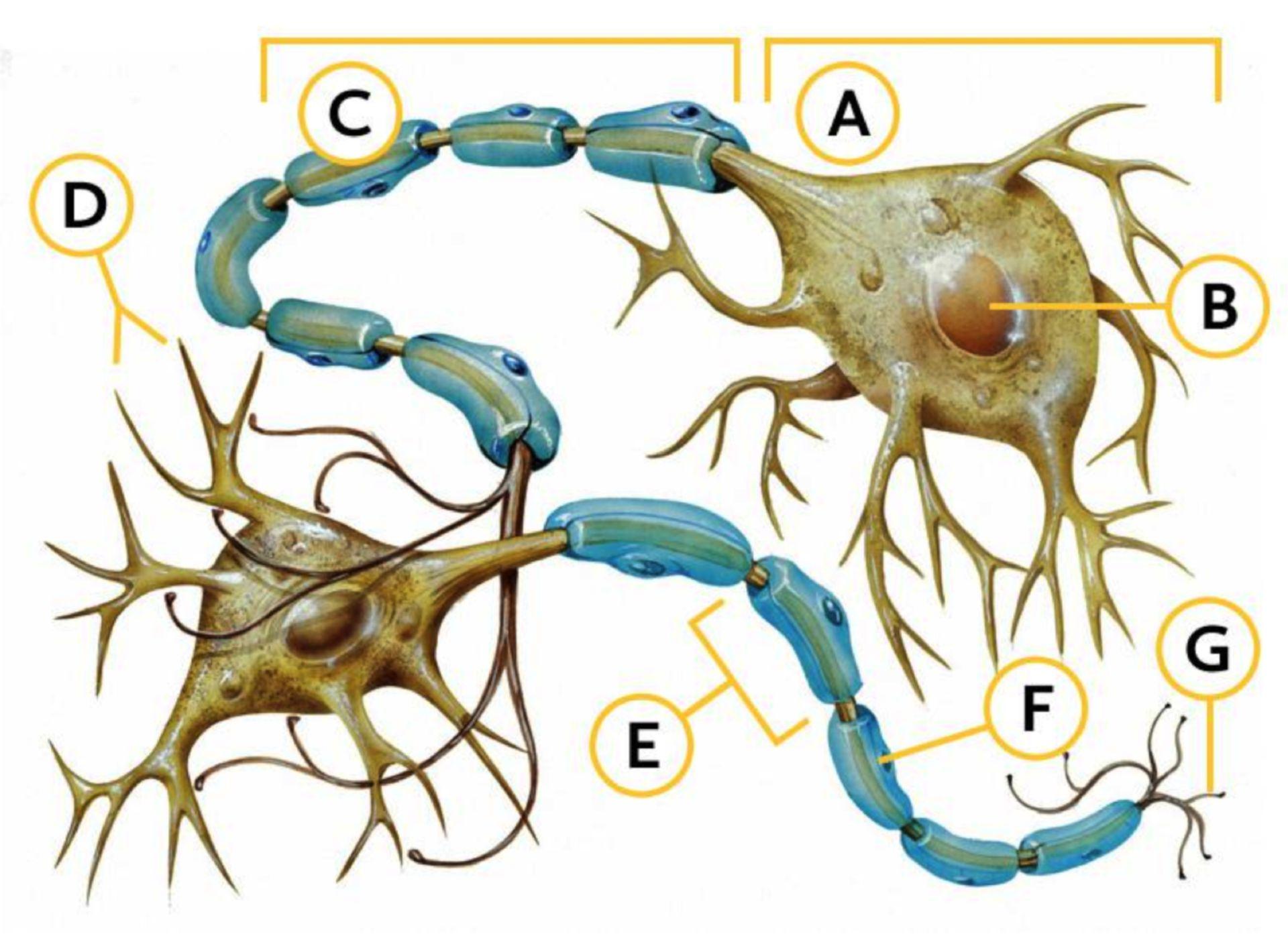 Tierzellen: Nervenzelle