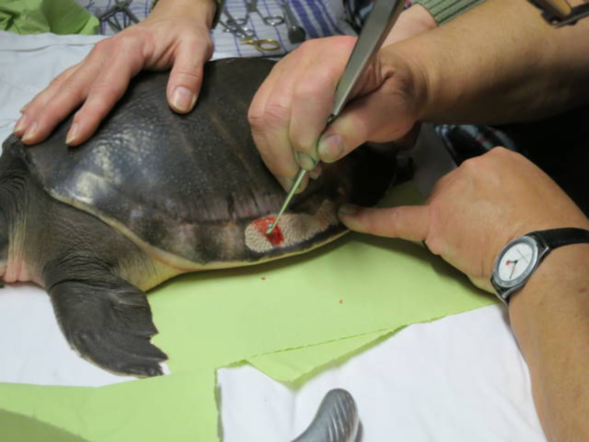 Damage in a softshell turtle 7